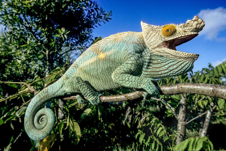 Photographie de Gilles Martin : caméléon de Parson de Madagascar