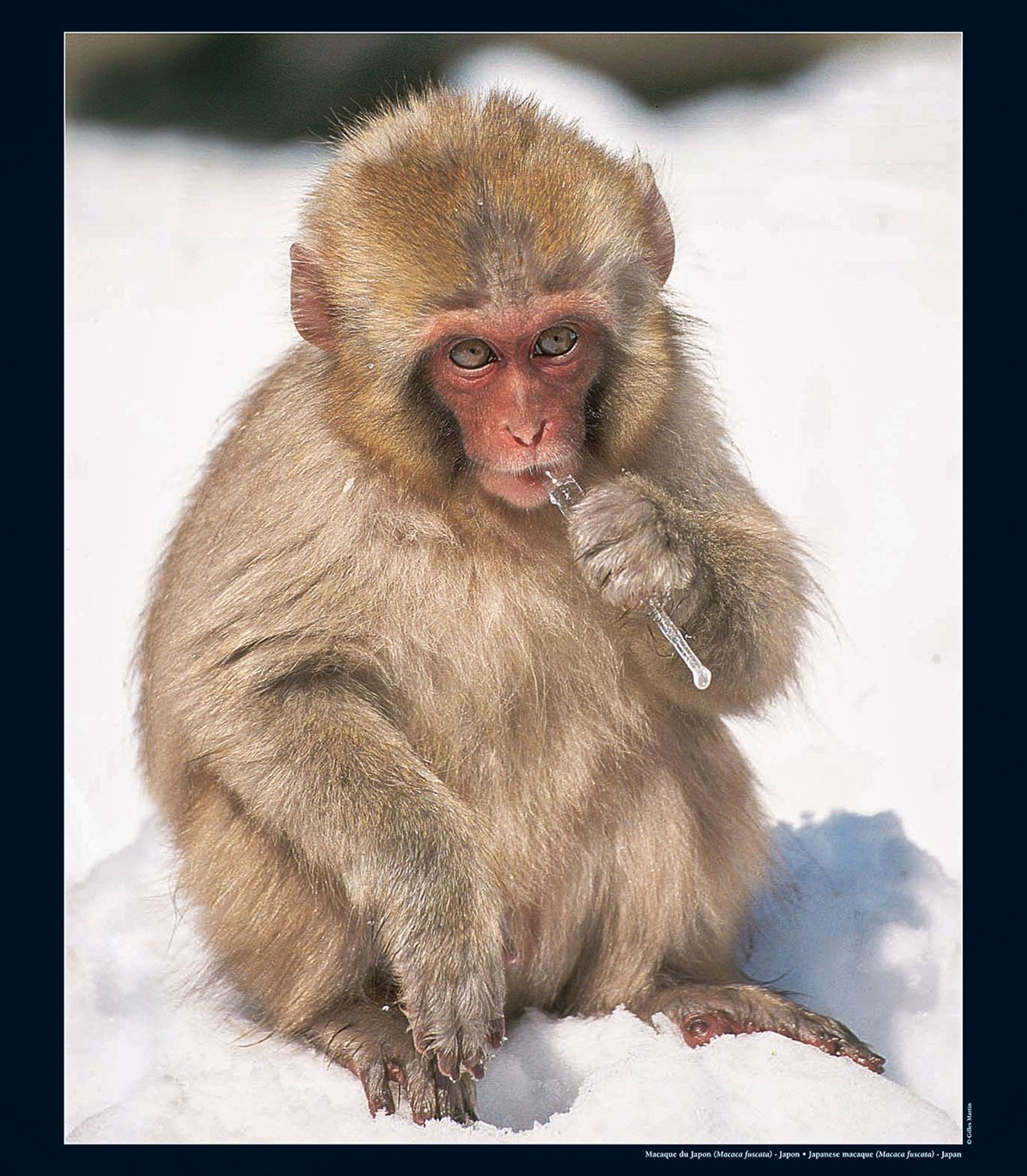 Photographie de Gilles Martin : macaque du Japon