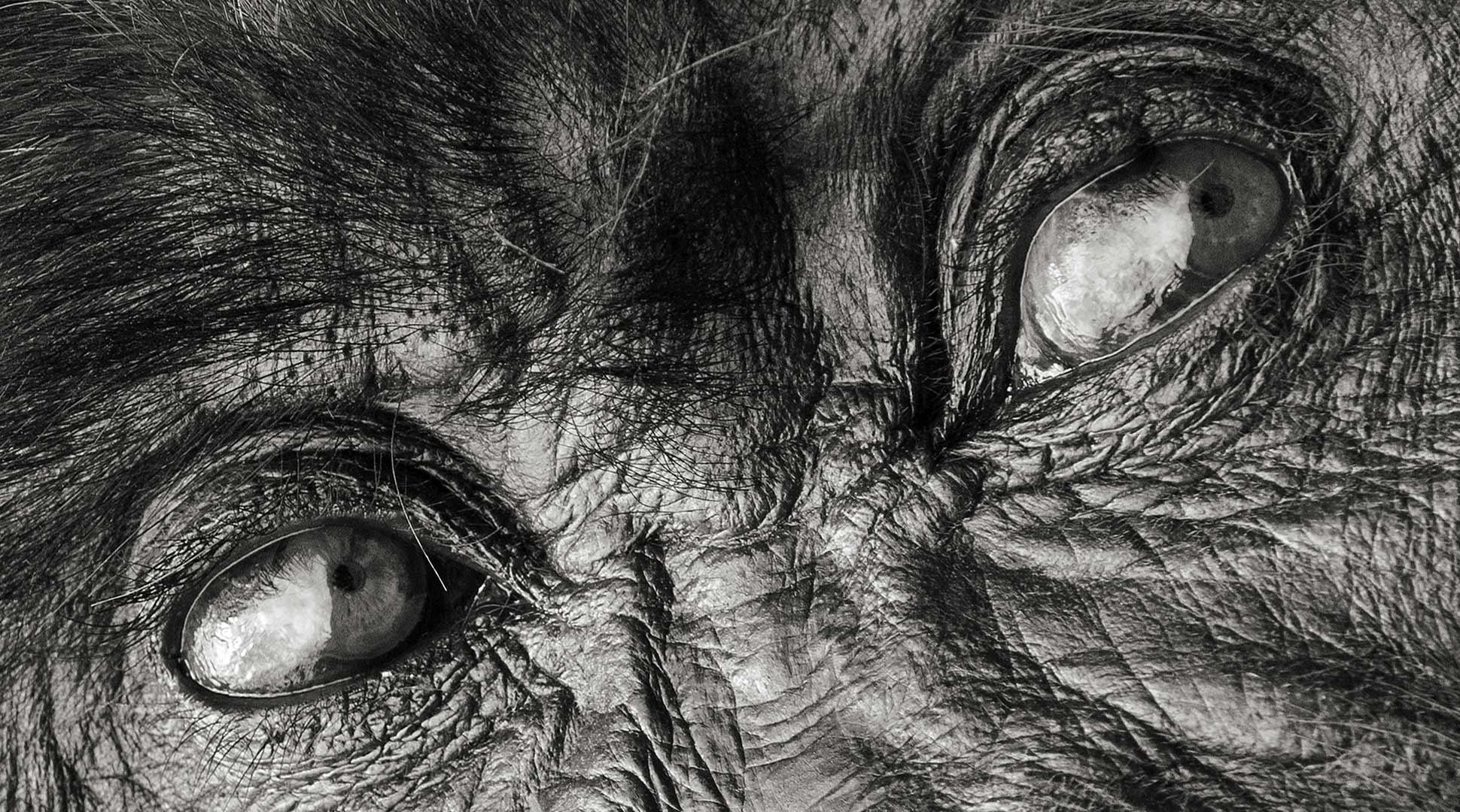 """Photographie de Gilles Martin : Kolinga, gorille du Rwanda surnommé """"dos argenté"""""""