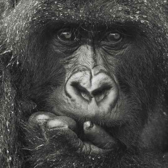 "Gilles Martin's photograph : gorilla in Rwanda from the limited edition ""Silverback"""