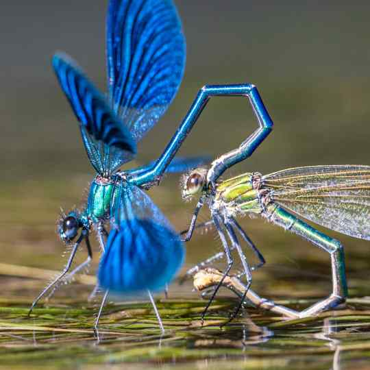 Gilles Martin's photograph : banded demoiselle (calopteryx splendens), France