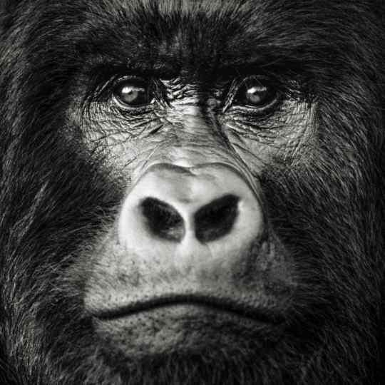 Gilles Martin's photograph : gorilla in Rwanda