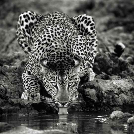 Photographie de Gilles Martin : léopard du Botswana, Struggle for life