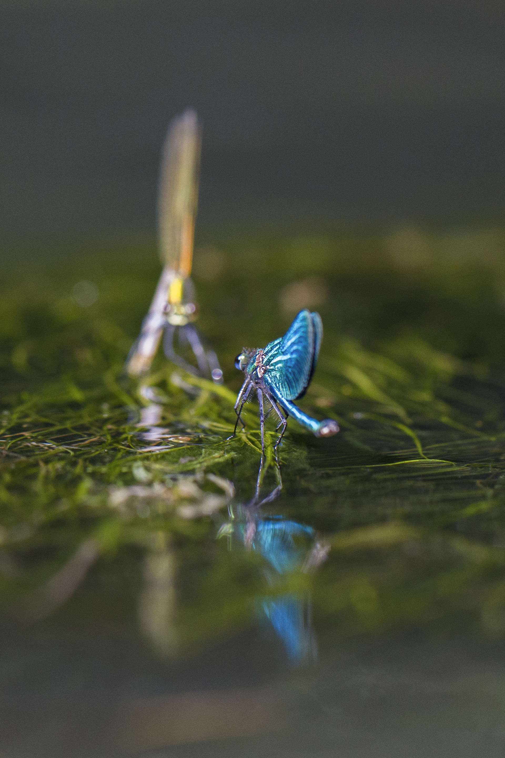 Gilles Martins photograph of a banded demoiselle (calopteryx splendens), France