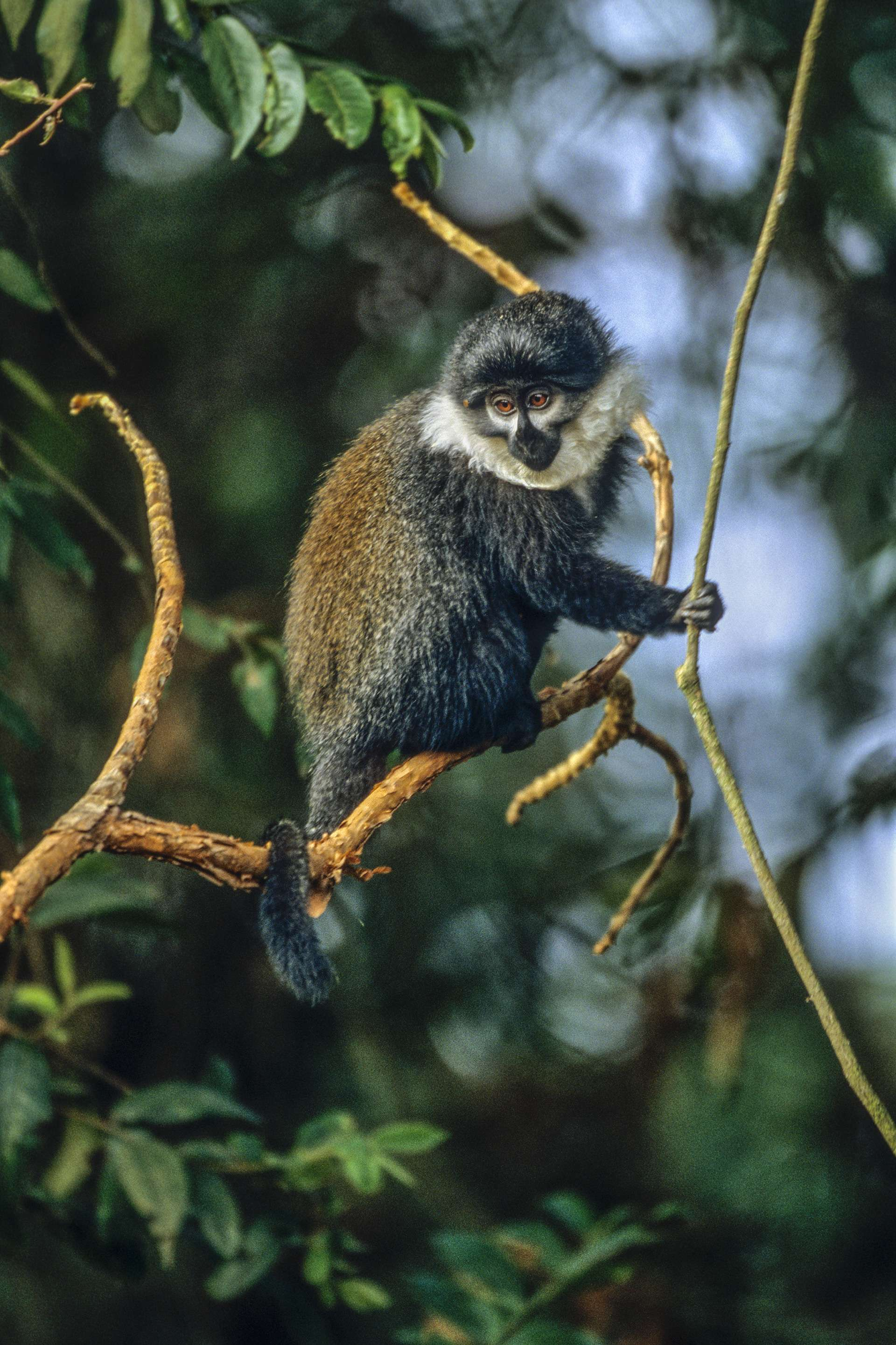 Gilles Martin's photograph of a L'Hoest's mokey from Rwanda