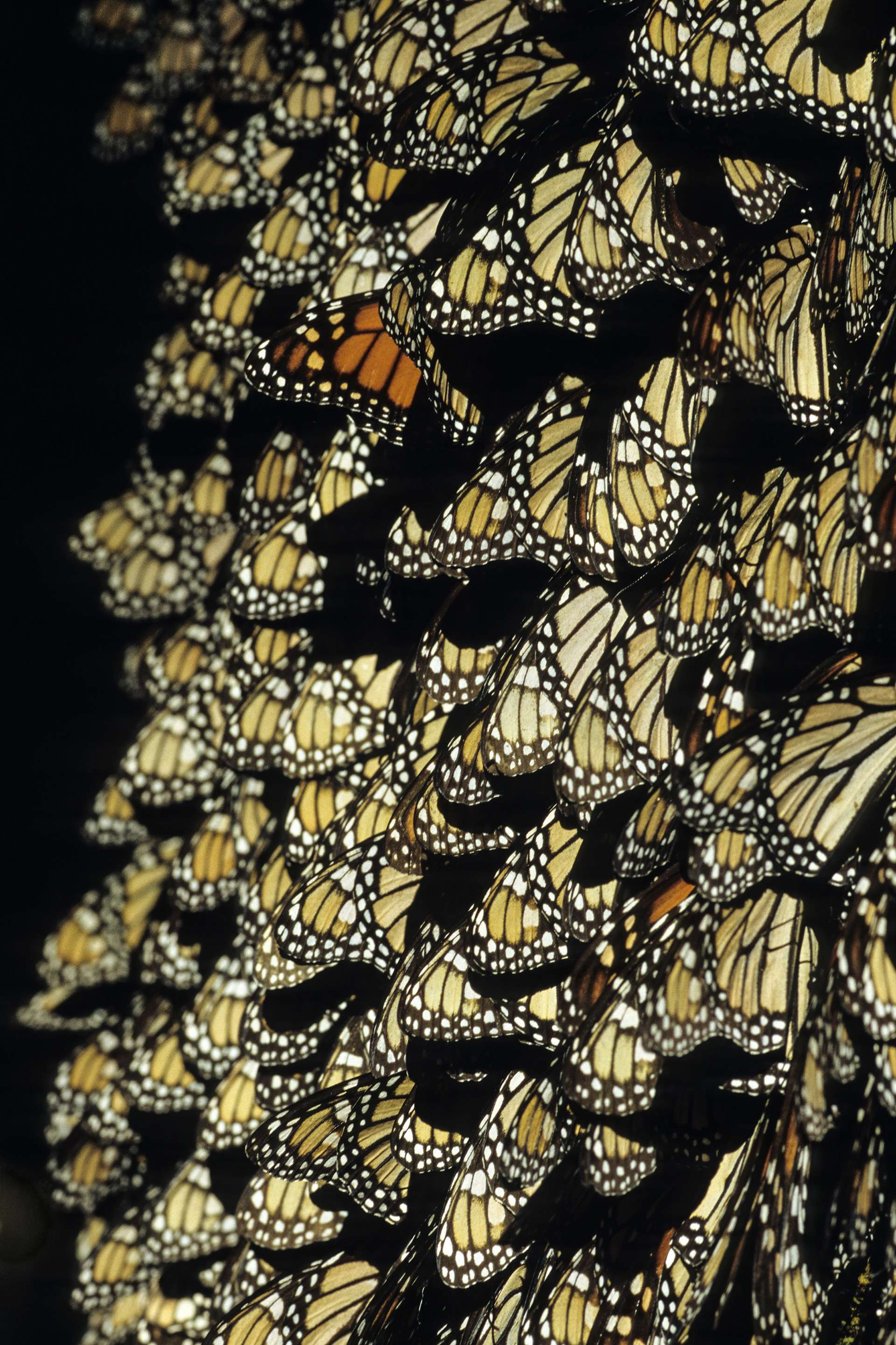 Gilles Martin's photograph of a monarch butterfly from Mexico