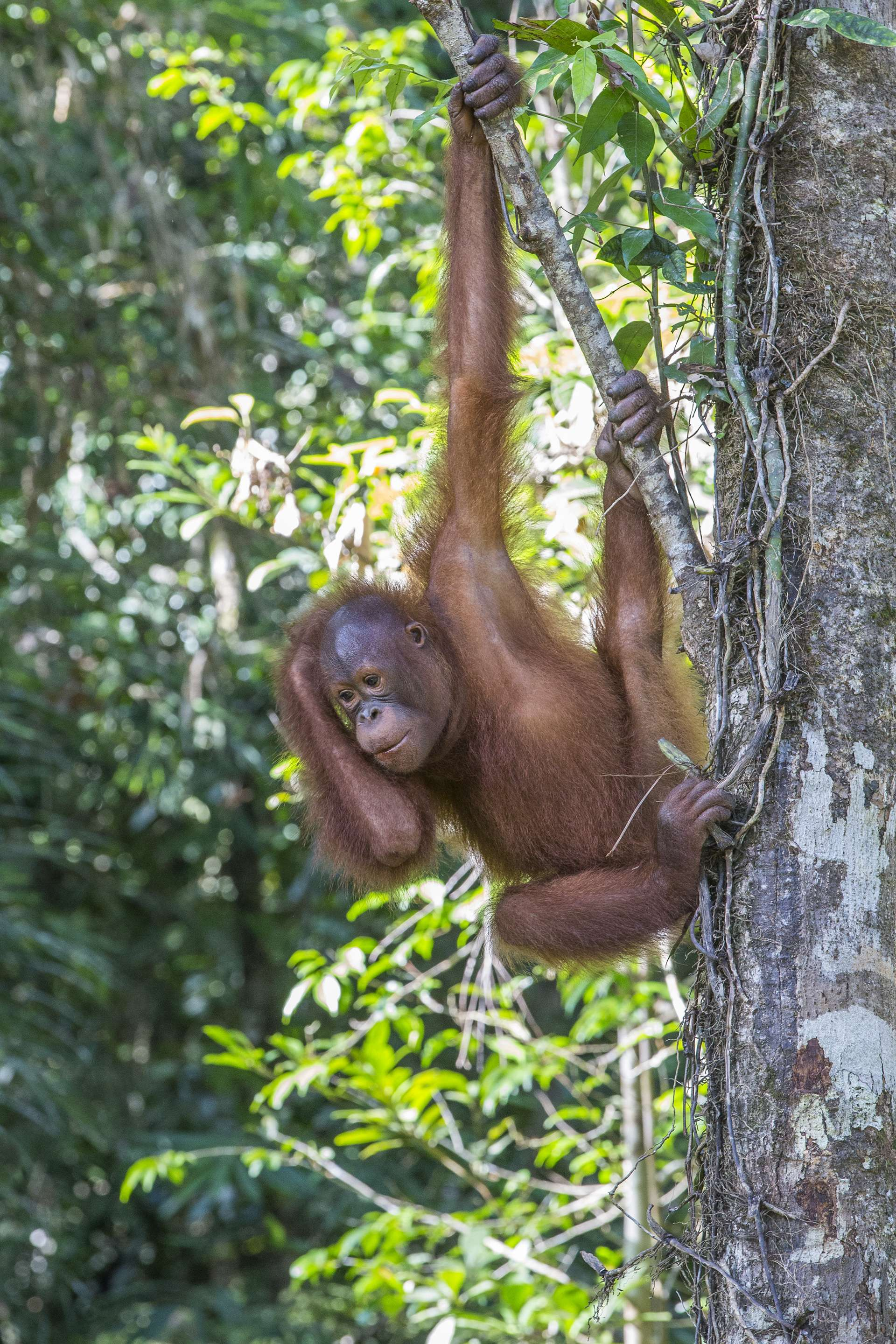 Gilles Martin's photograph of an orangutan from Borneo