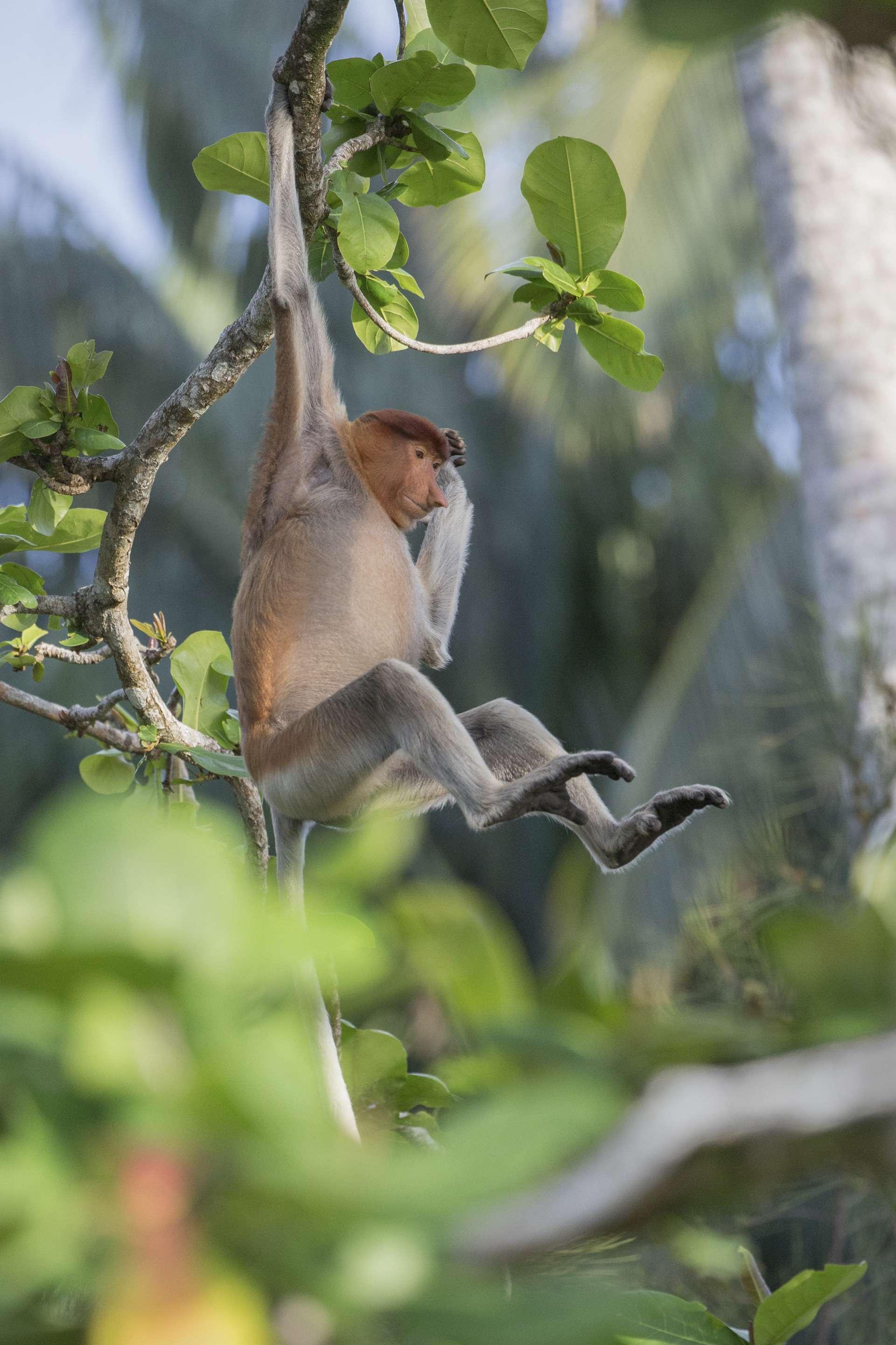 Gilles Martin's photograph of a proboscis monkey (nasalis larvatus) from Borneo