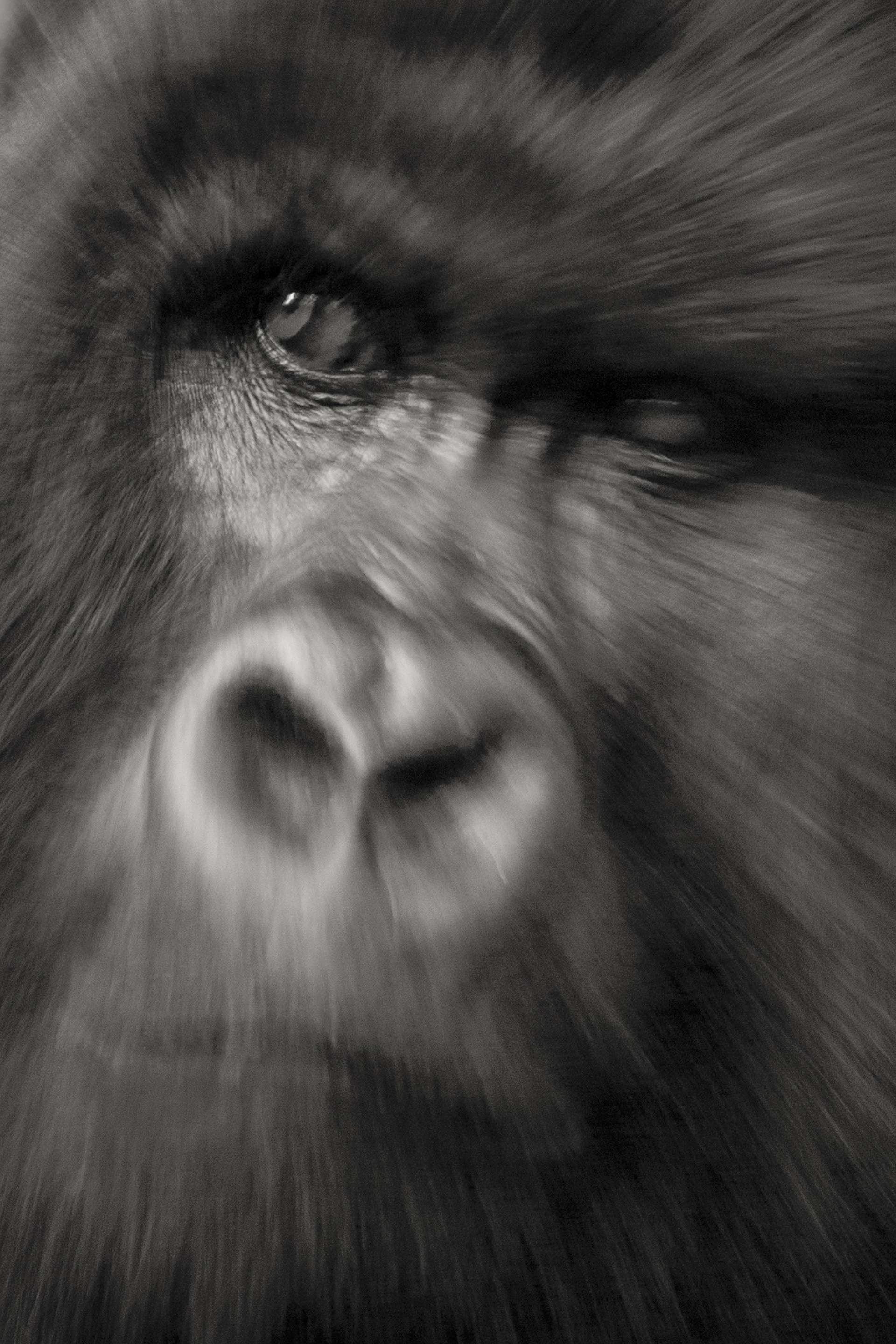 Gilles Martin's photograph of a gorilla from Uganda