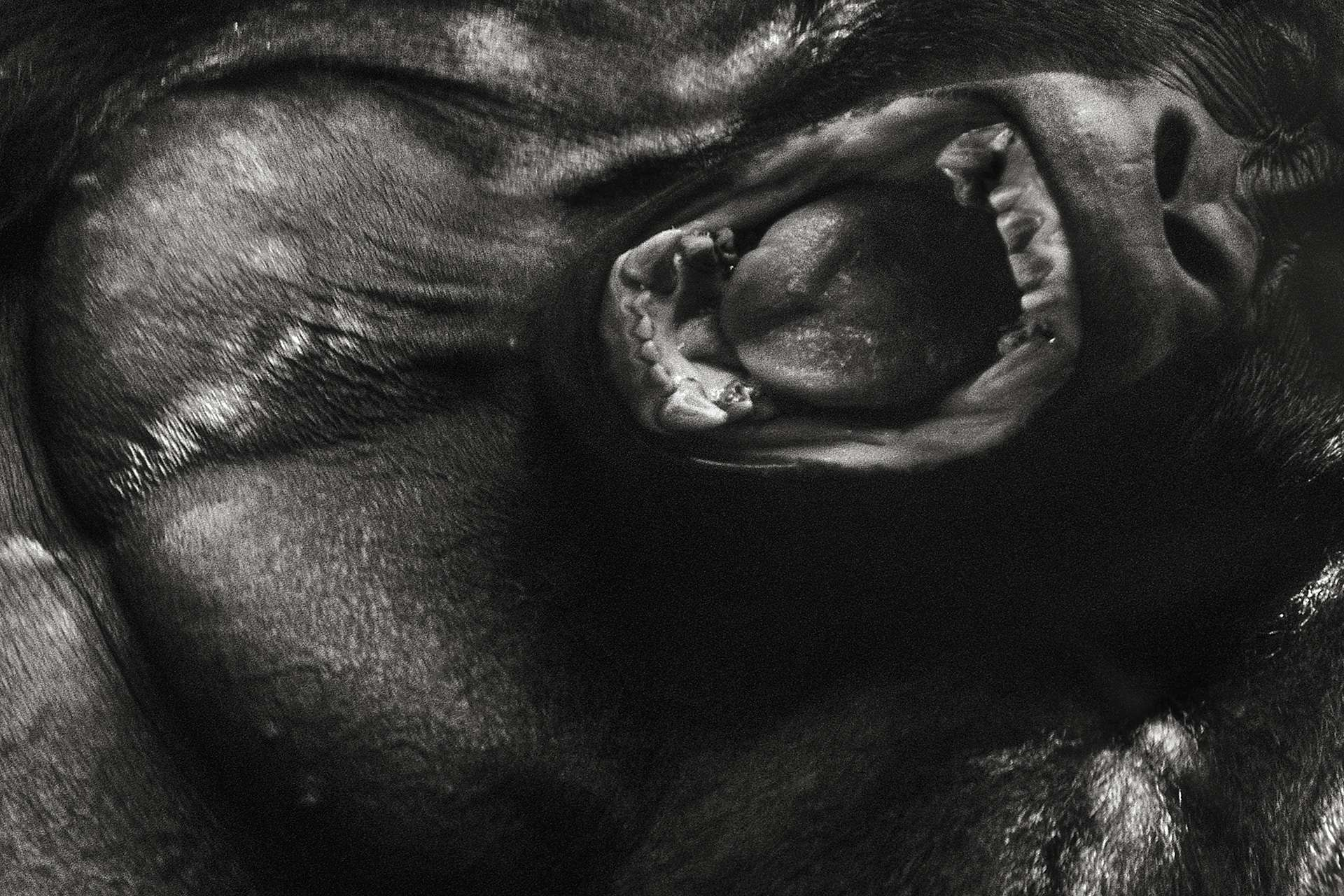 Gilles Martin's photograph of a gorilla from Congo-DRC
