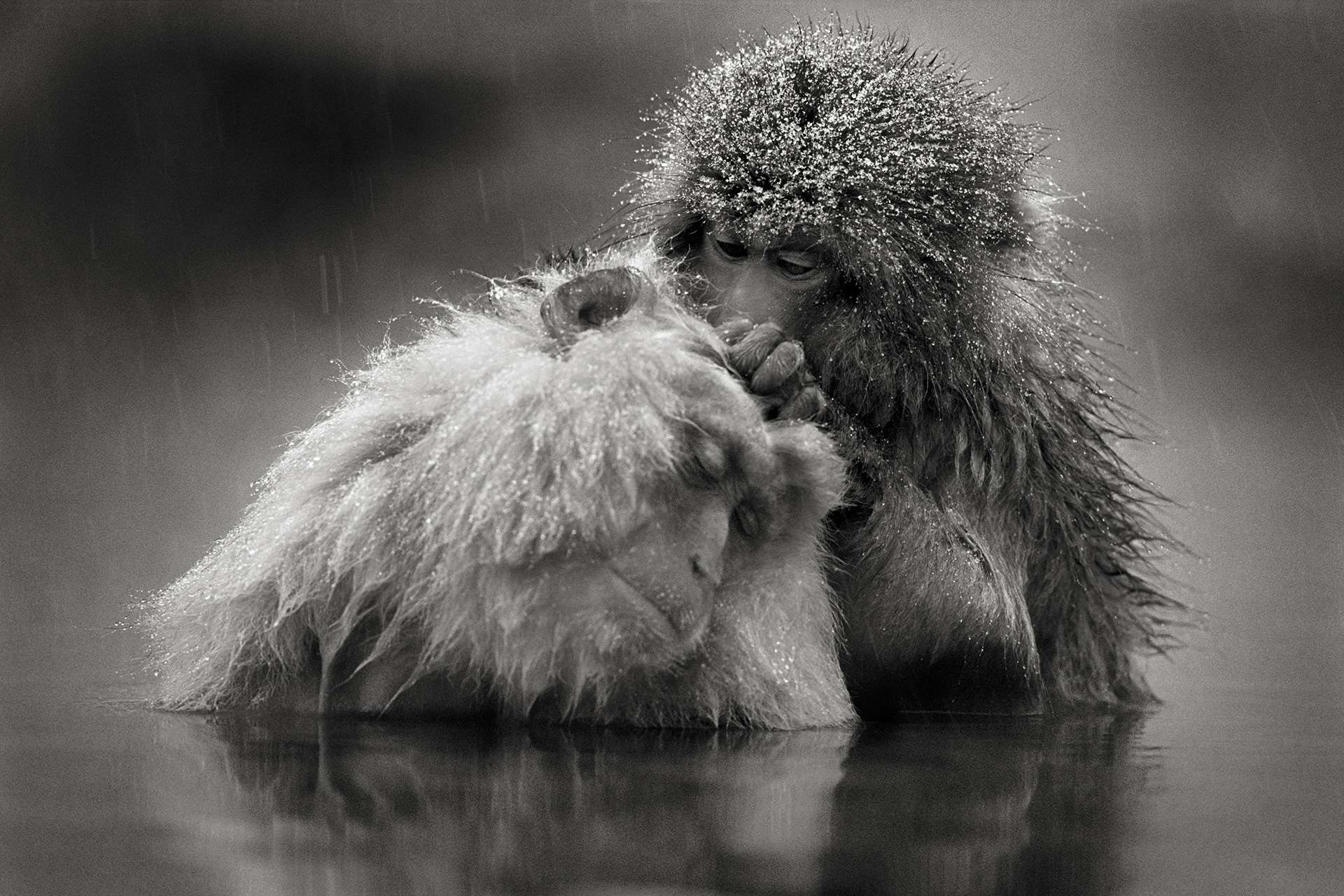 Gilles Martin's photograph : japanese macaque, Struggle for life