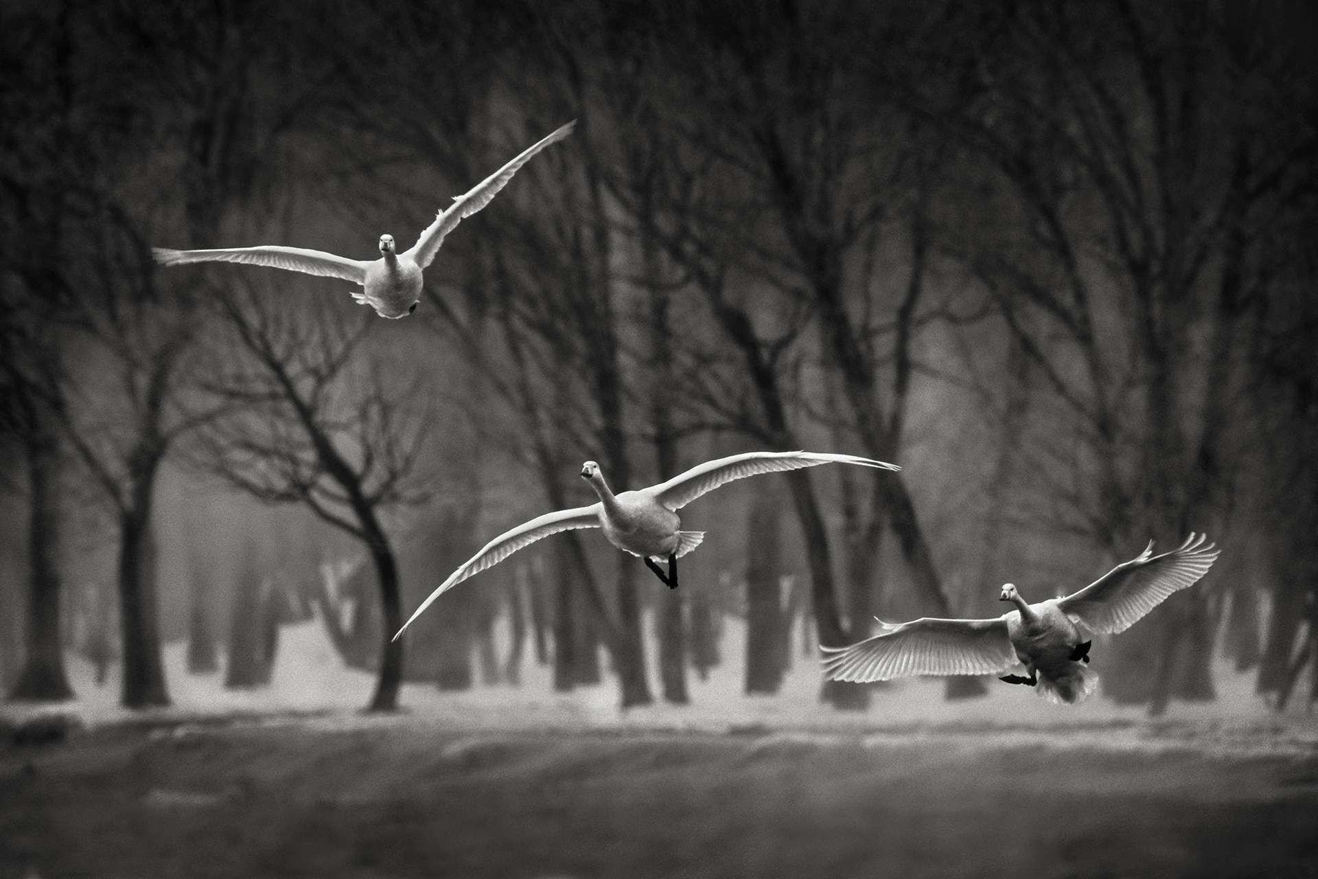 Gilles Martin's photograph : whooper swan from Japan, Struggle for life
