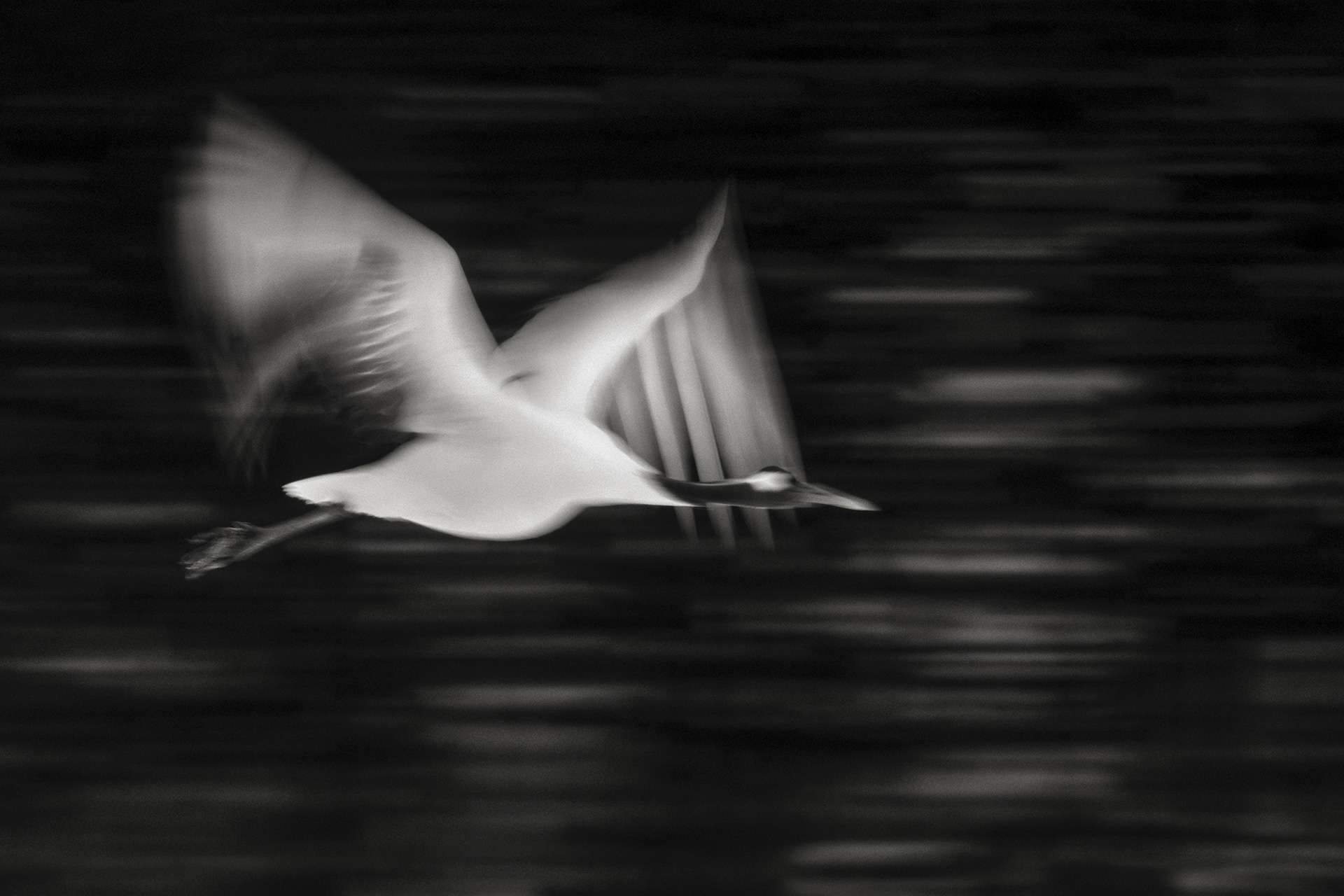 Gilles Martin's photograph : japanese crane from Japan, Struggle for life