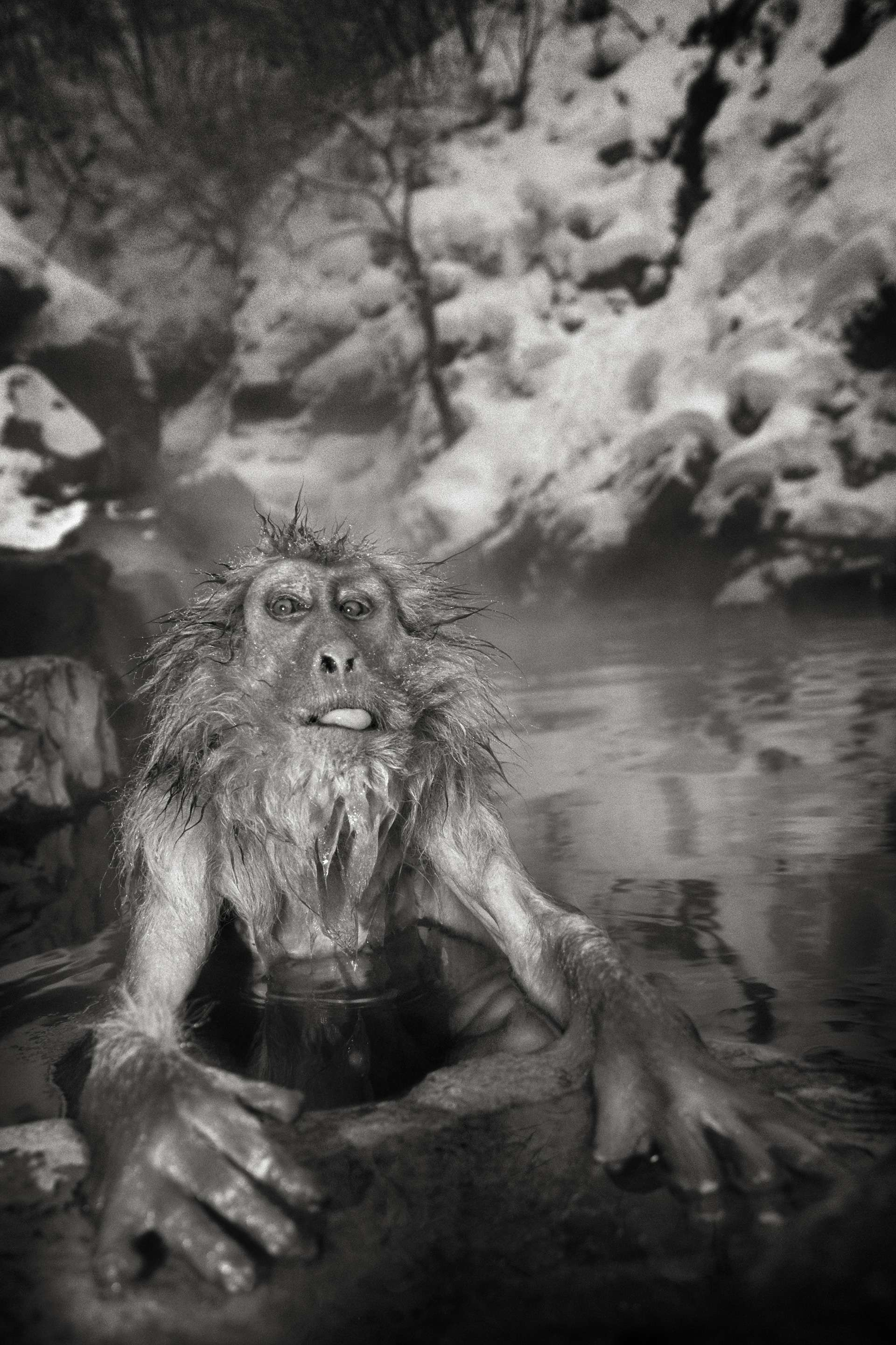 Photographie de Gilles Martin : macaque du Japon, struggle for life