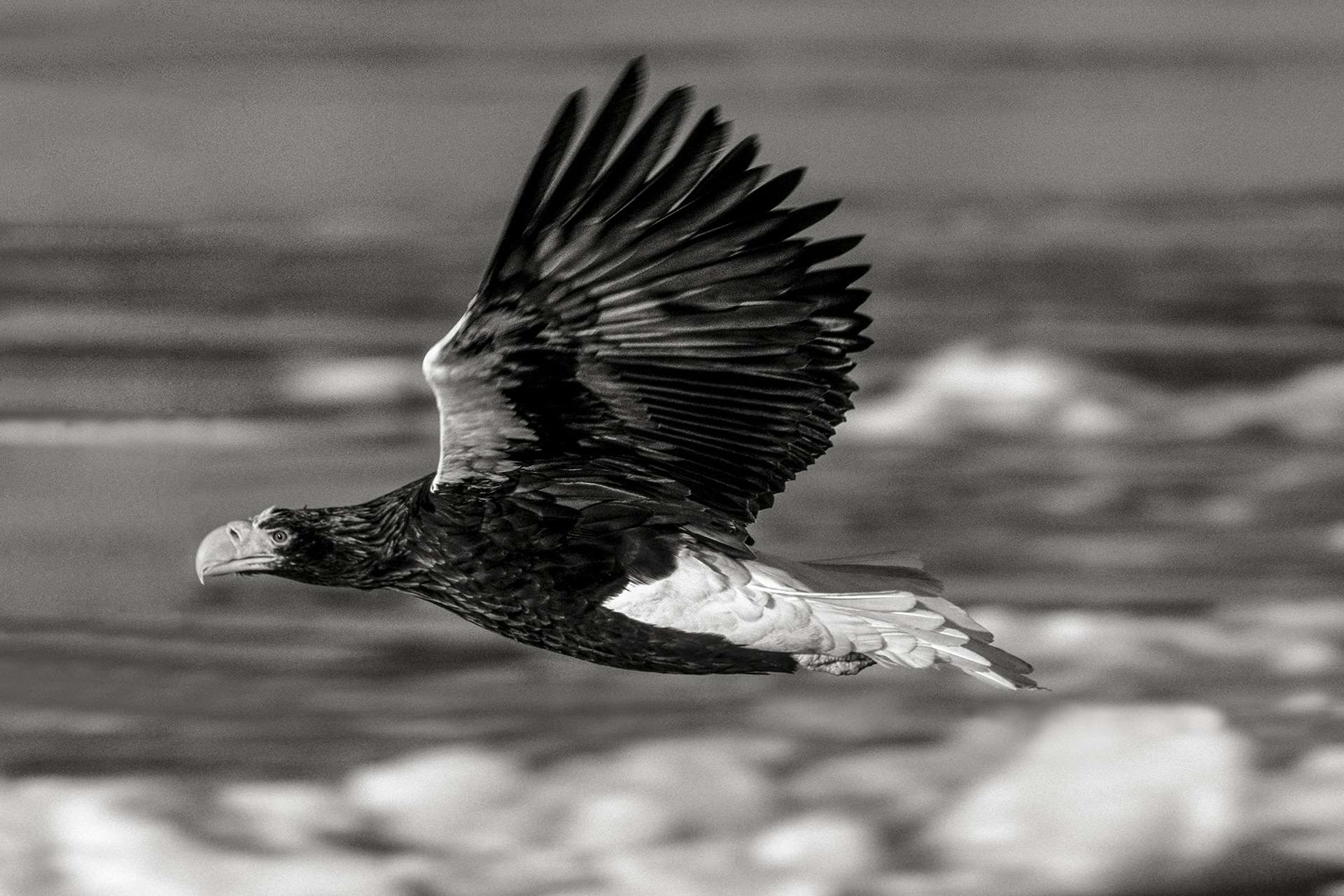 Gilles Martin's photograph : steller's sea eagle from Japan, Struggle for life