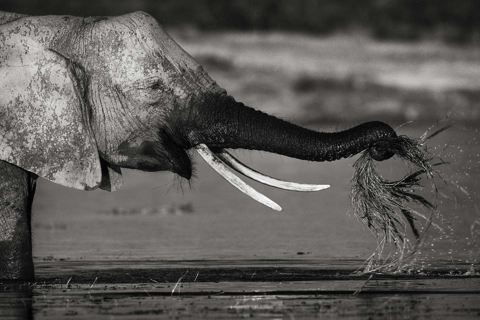 Gilles Martin's photograph : african elephant from Zimbabwe, Struggle for life