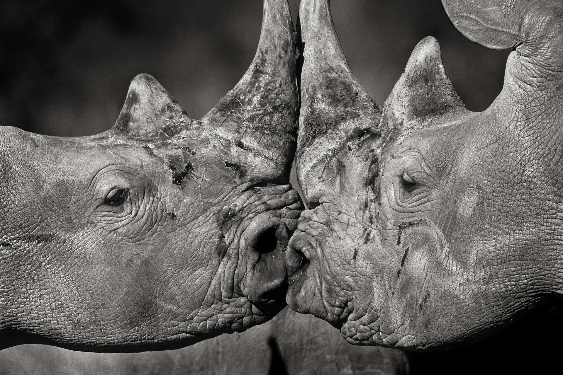 Photographie de Gilles Martin : rhinocéros blanc d'Afrique du sud, Struggle for life