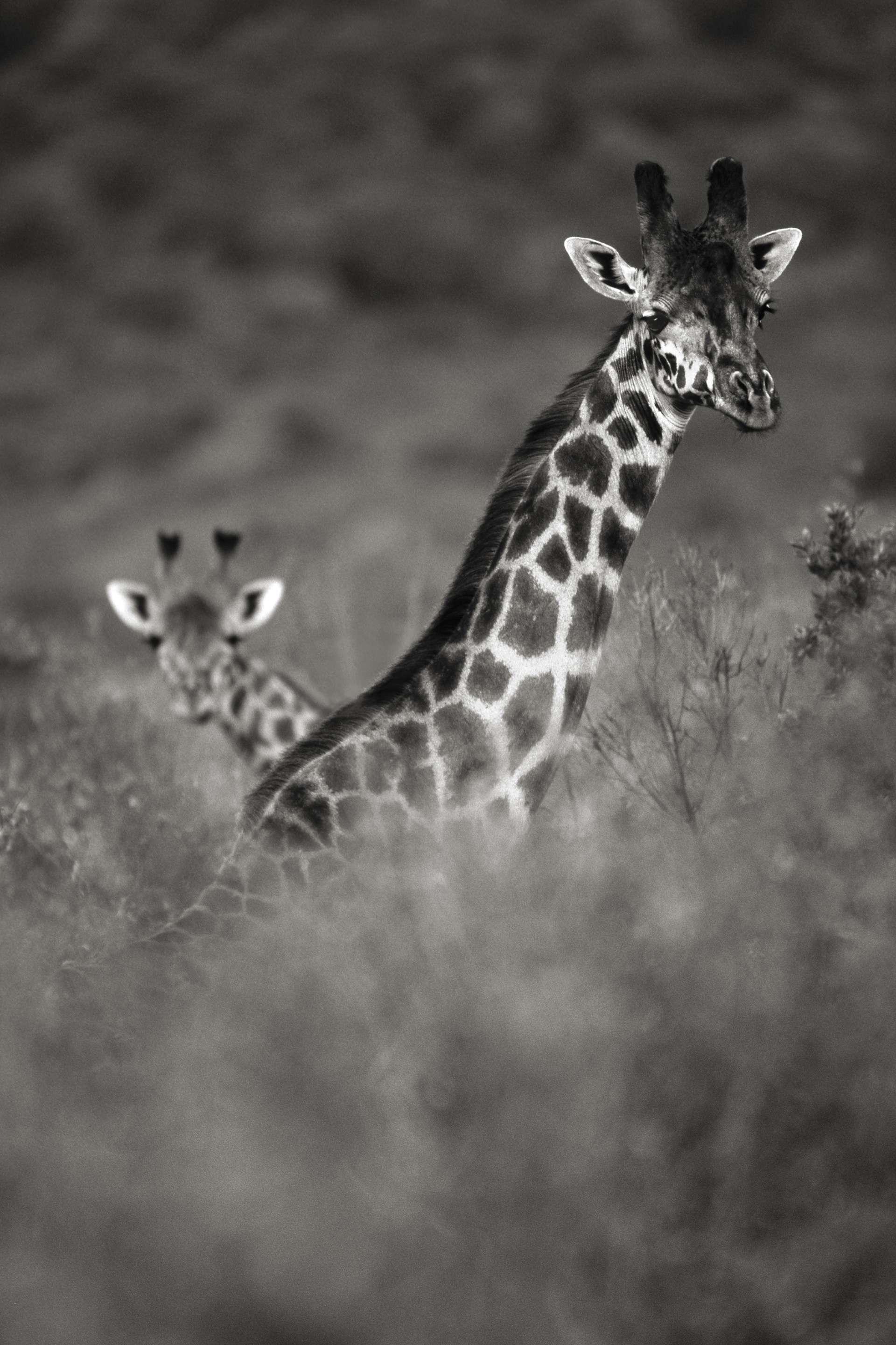 Photographie de Gilles Martin : girafe du Kenya, Struggle for life