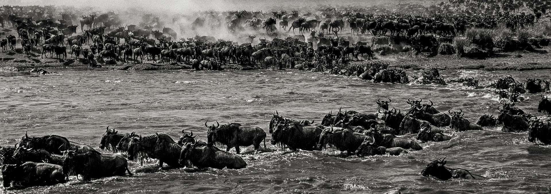 Photographie de Gilles Martin : gnou du Kenya, Struggle for life