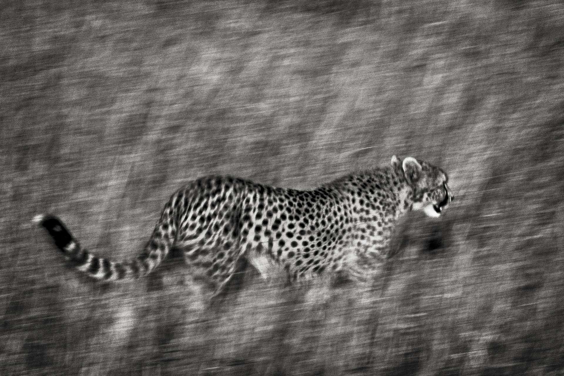Gilles Martin's photograph : cheetah from Tanzania, Struggle for life