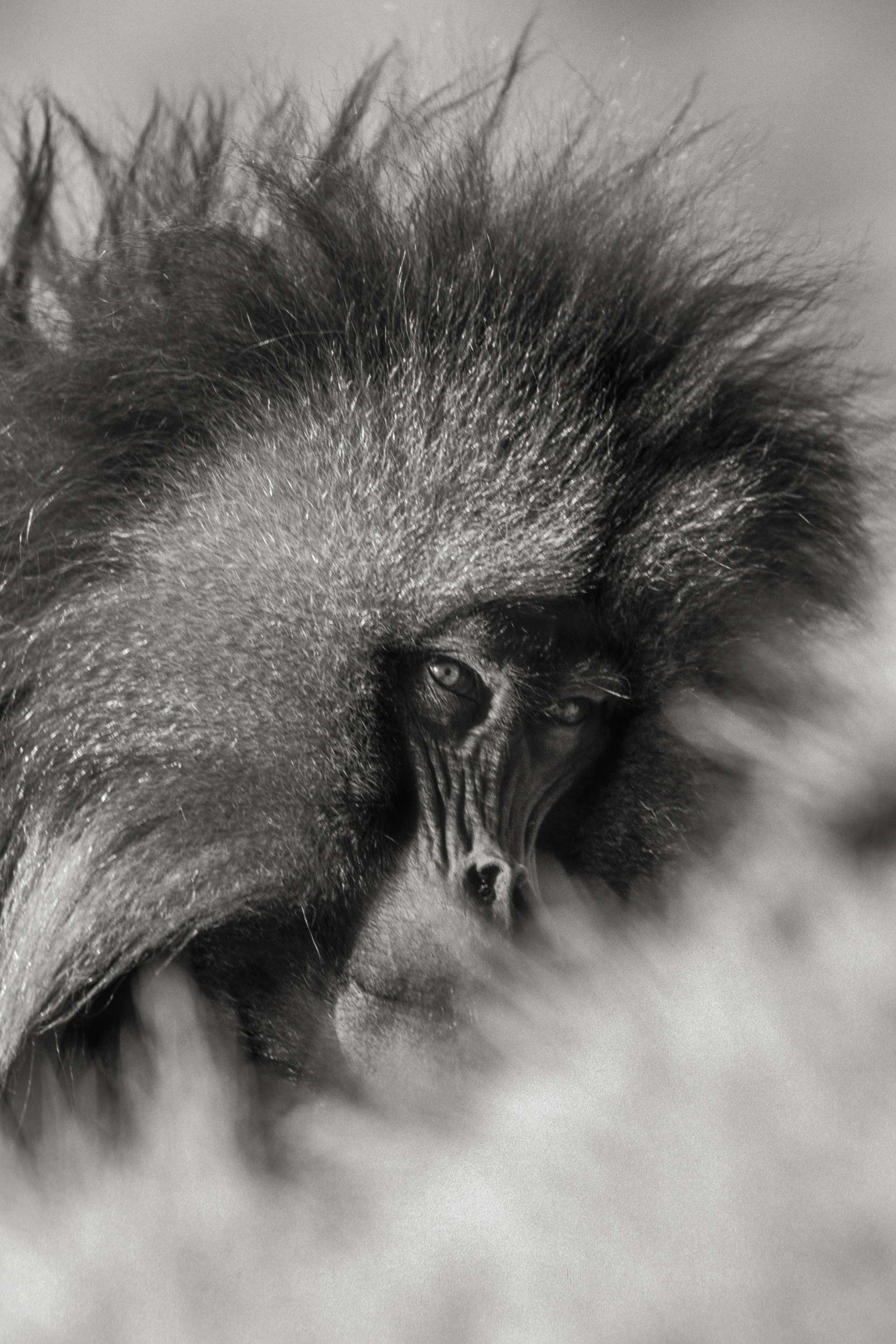 Gilles Martin's photograph : gelada from Ethiopia, Struggle for life