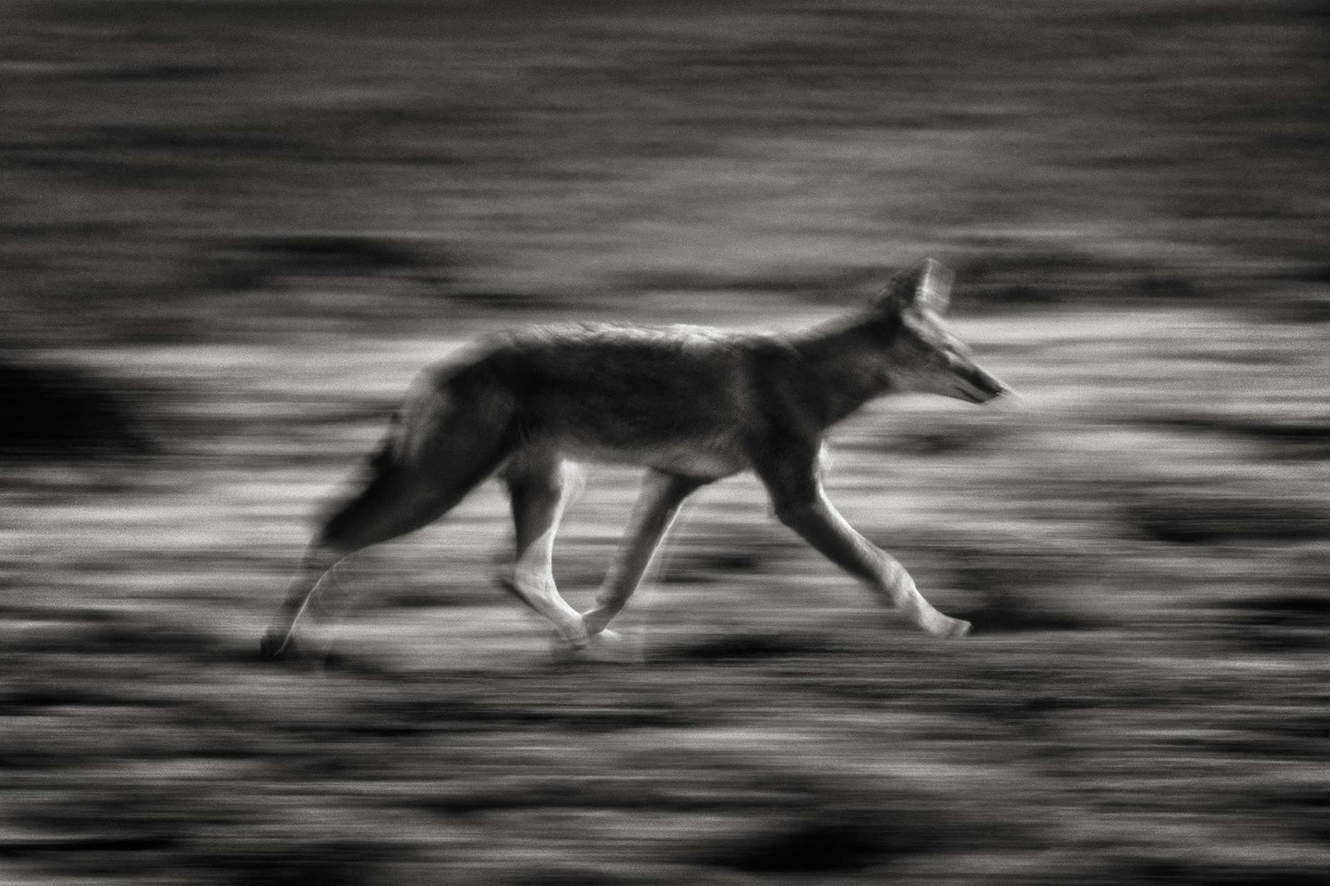 Gilles Martin's photograph : Ethiopian wolf, Struggle for life