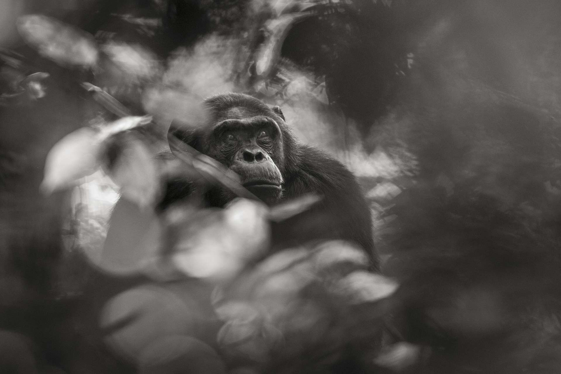 Photographie de Gilles Martin : chimpanzé du Rwanda, Struggle for life