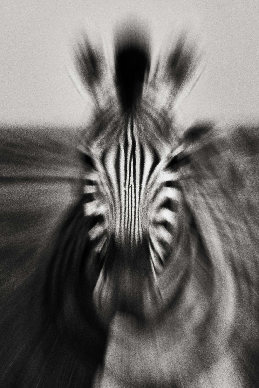 Photographie de Gilles Martin : zèbres des plaines du Kenya, Struggle for life