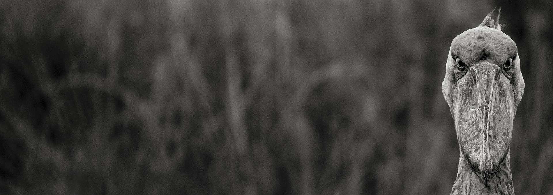Photographie de Gilles Martin : bec-en-sabot d'Ouganda, Struggle for life