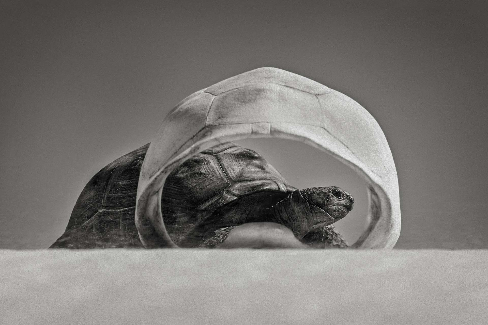 Gilles Martin's photograph : Aldabra giant tortoise, Struggle for life