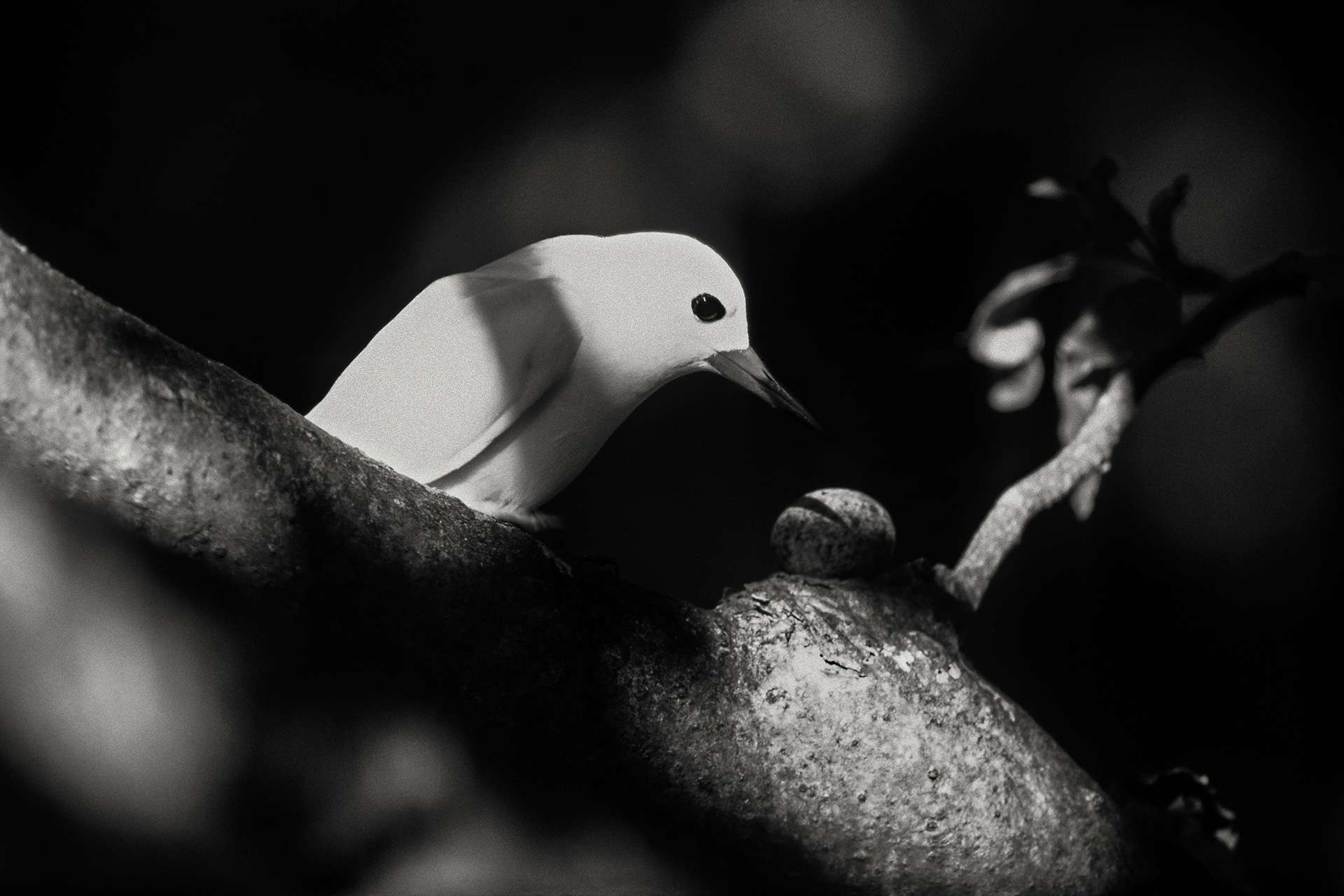 Gilles Martin's photograph : white tern in the Seychelles, Struggle for life