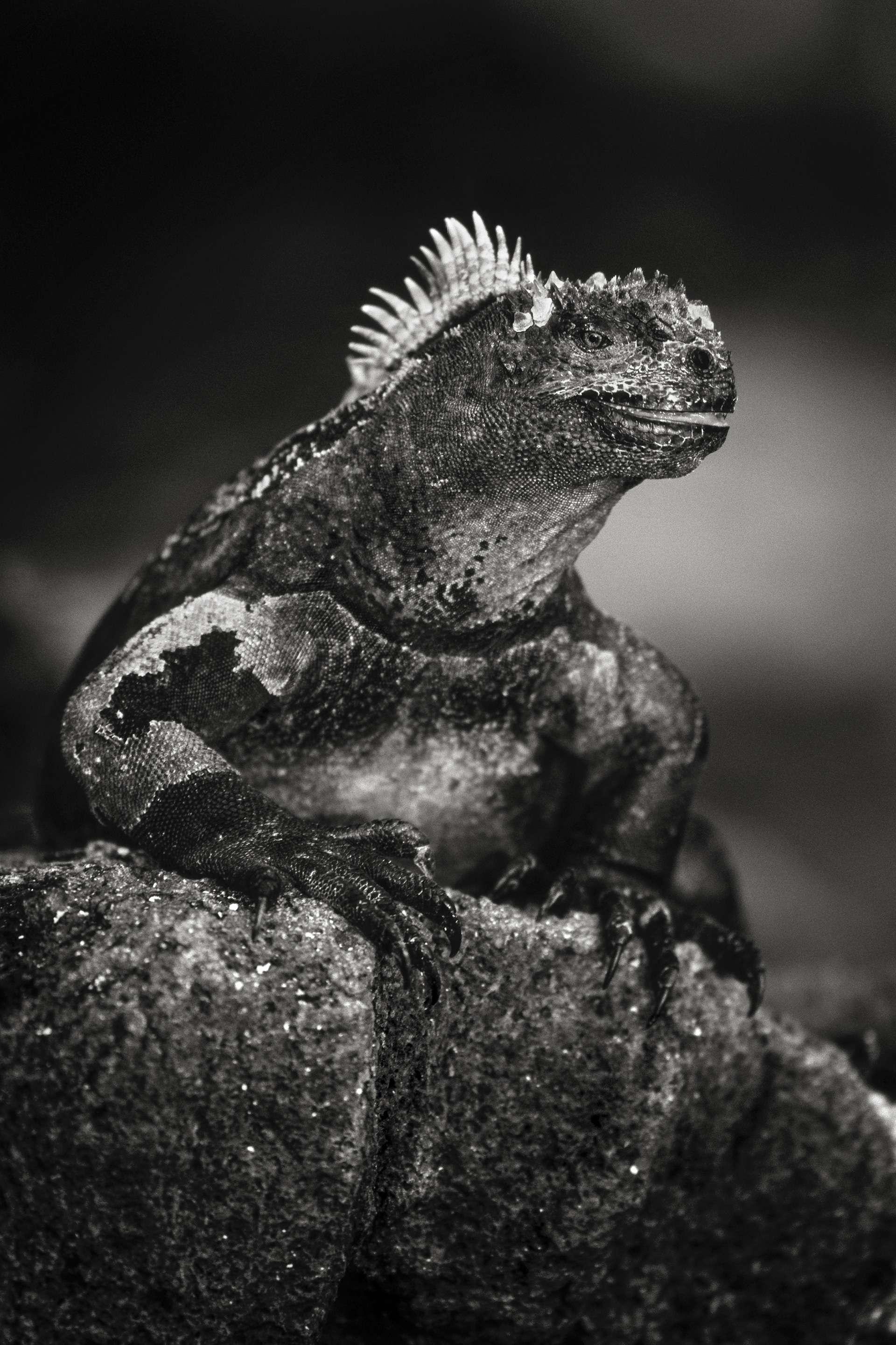 Photographie de Gilles Martin : iguane marin des Iles Galapagos, Struggle for life