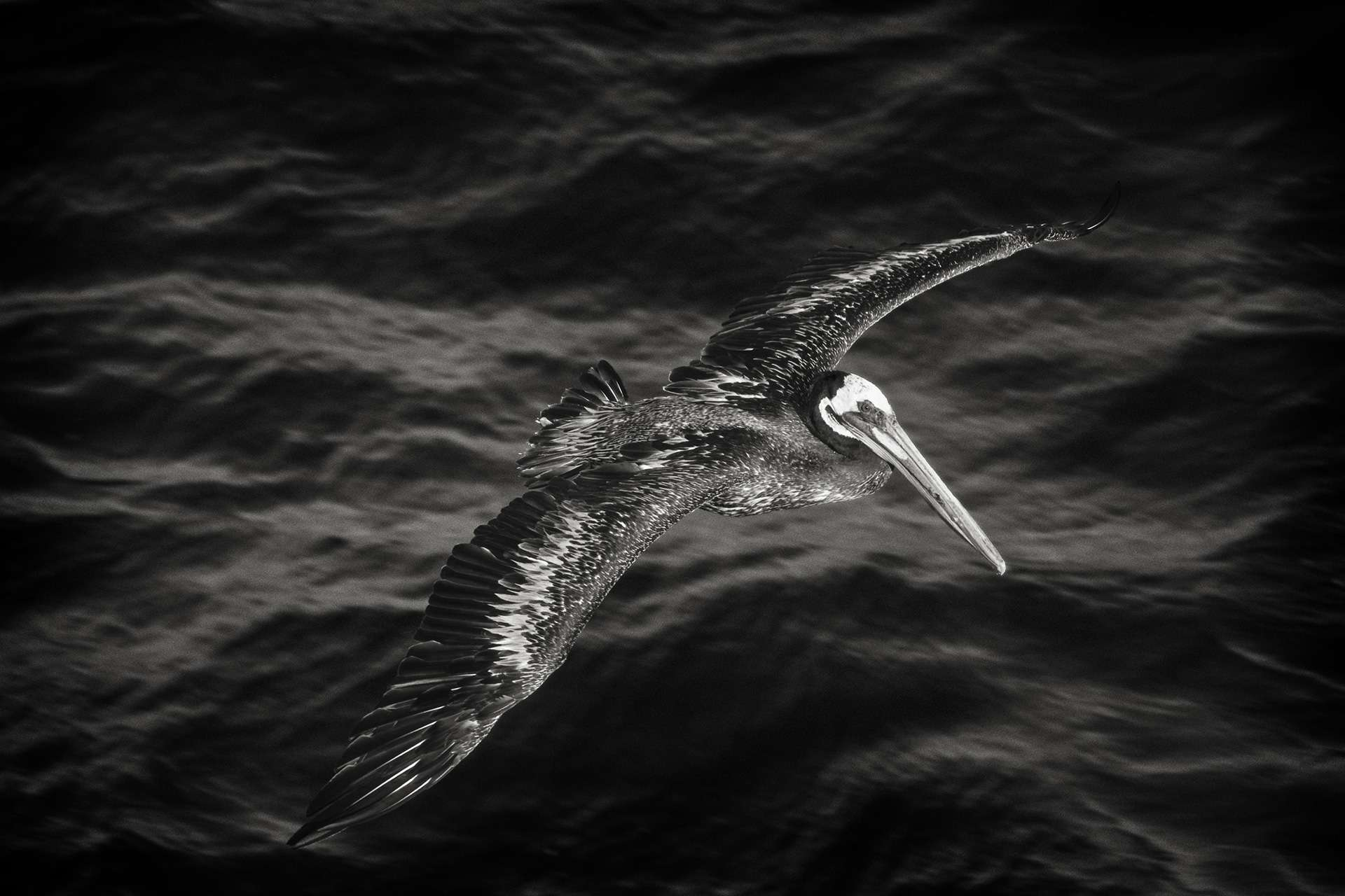 Gilles Martin's photograph : brown pelican from Peru, Struggle for life