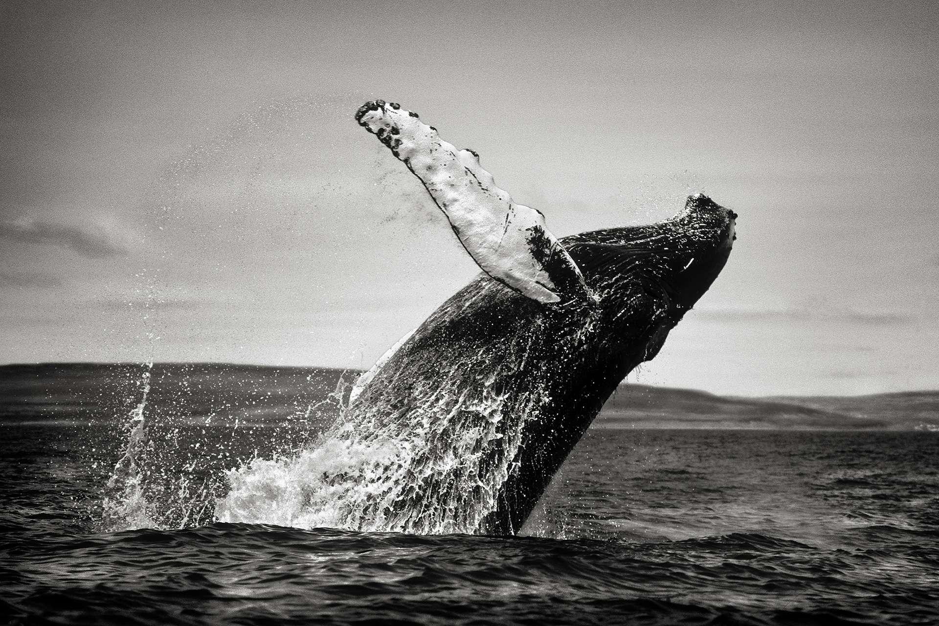 Photographie de Gilles Martin : baleine à bosse du Labrador, Struggle for life