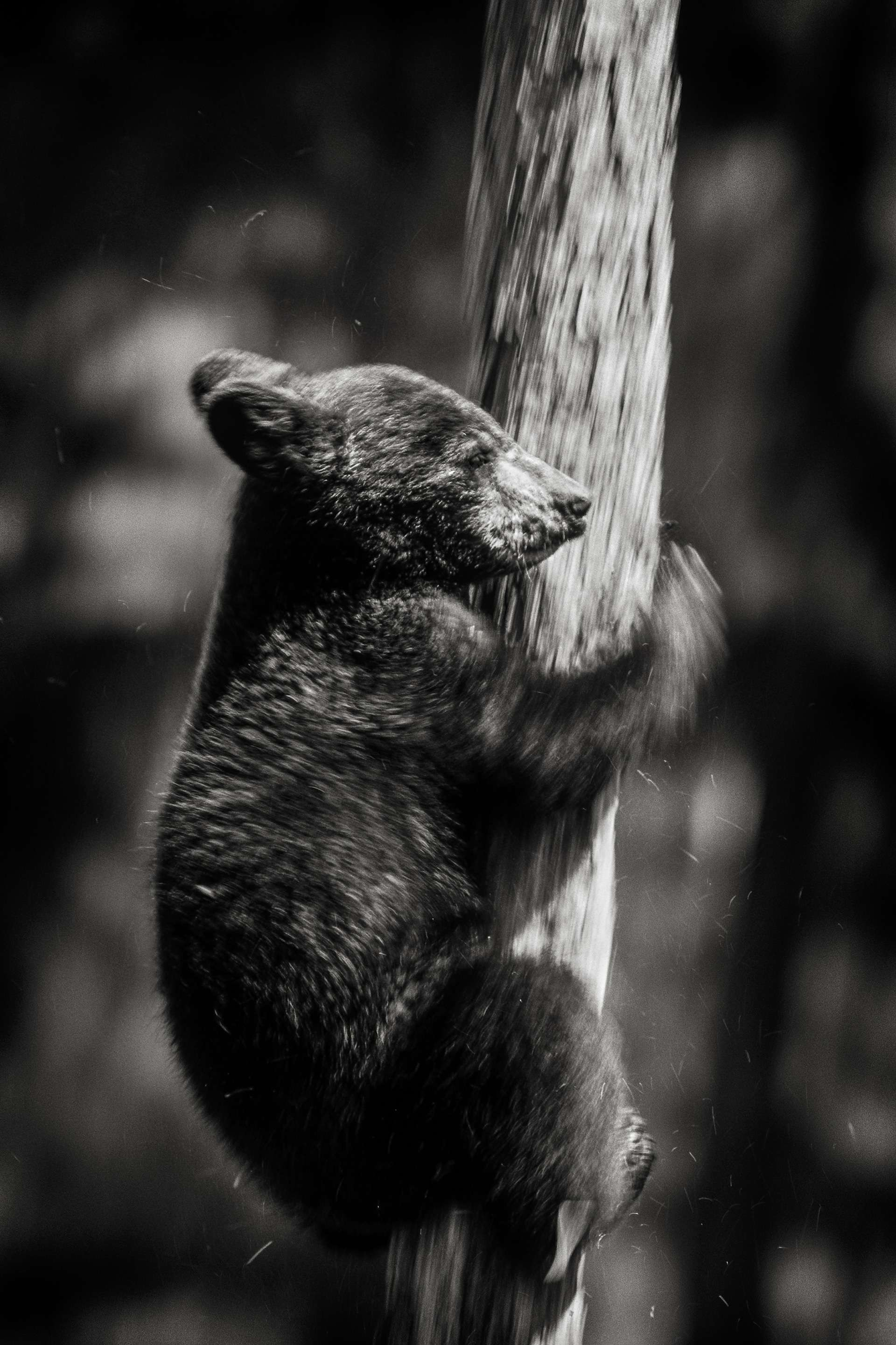 Photographie de Gilles Martin : ours noir du Canada, Struggle for life