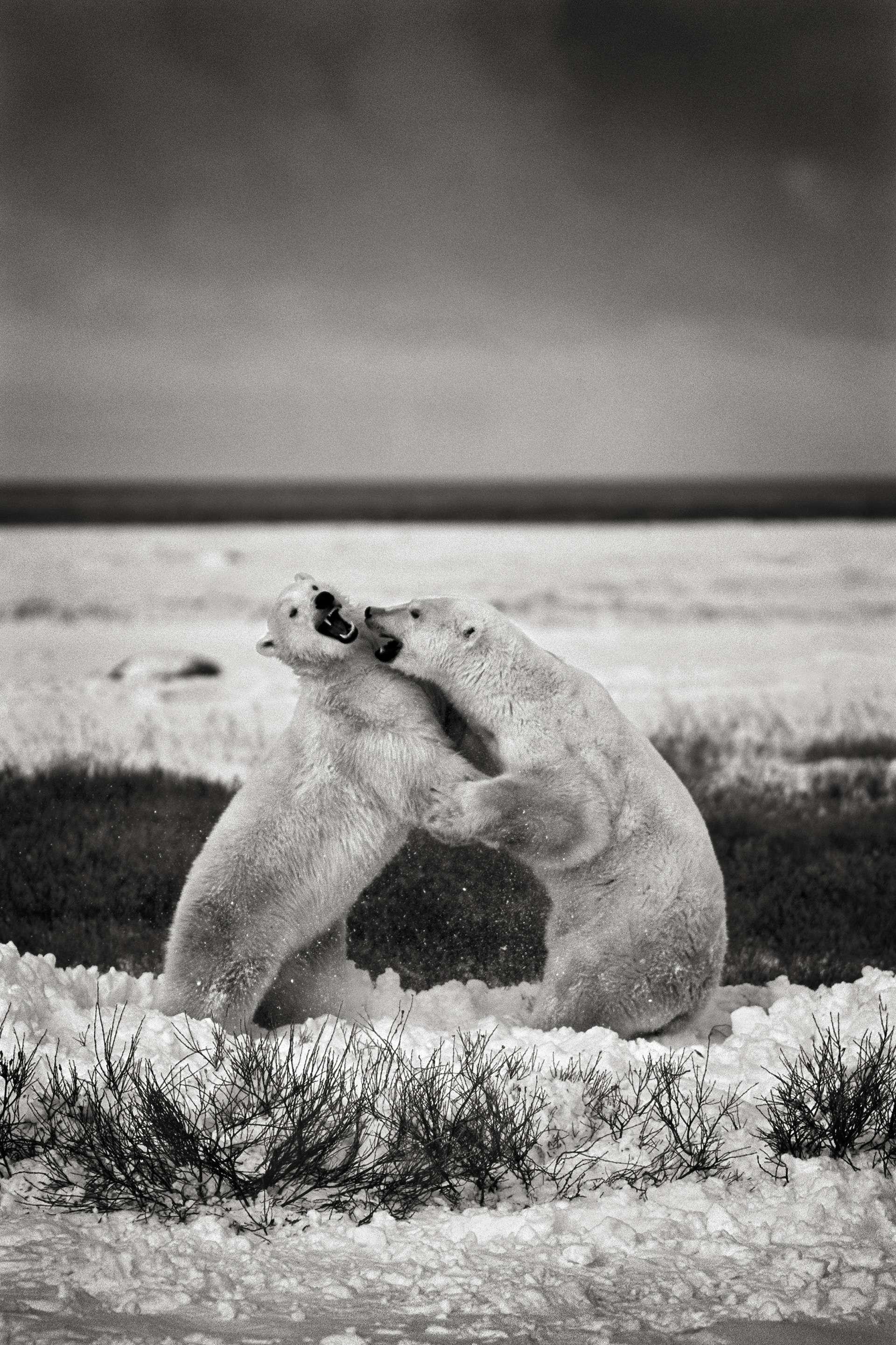 Gilles Martin's photograph : polar bear from Canada, Struggle for life
