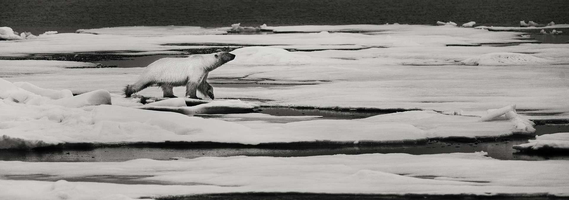 Gilles Martin's photograph : polar bear from Svalbard, Struggle for life