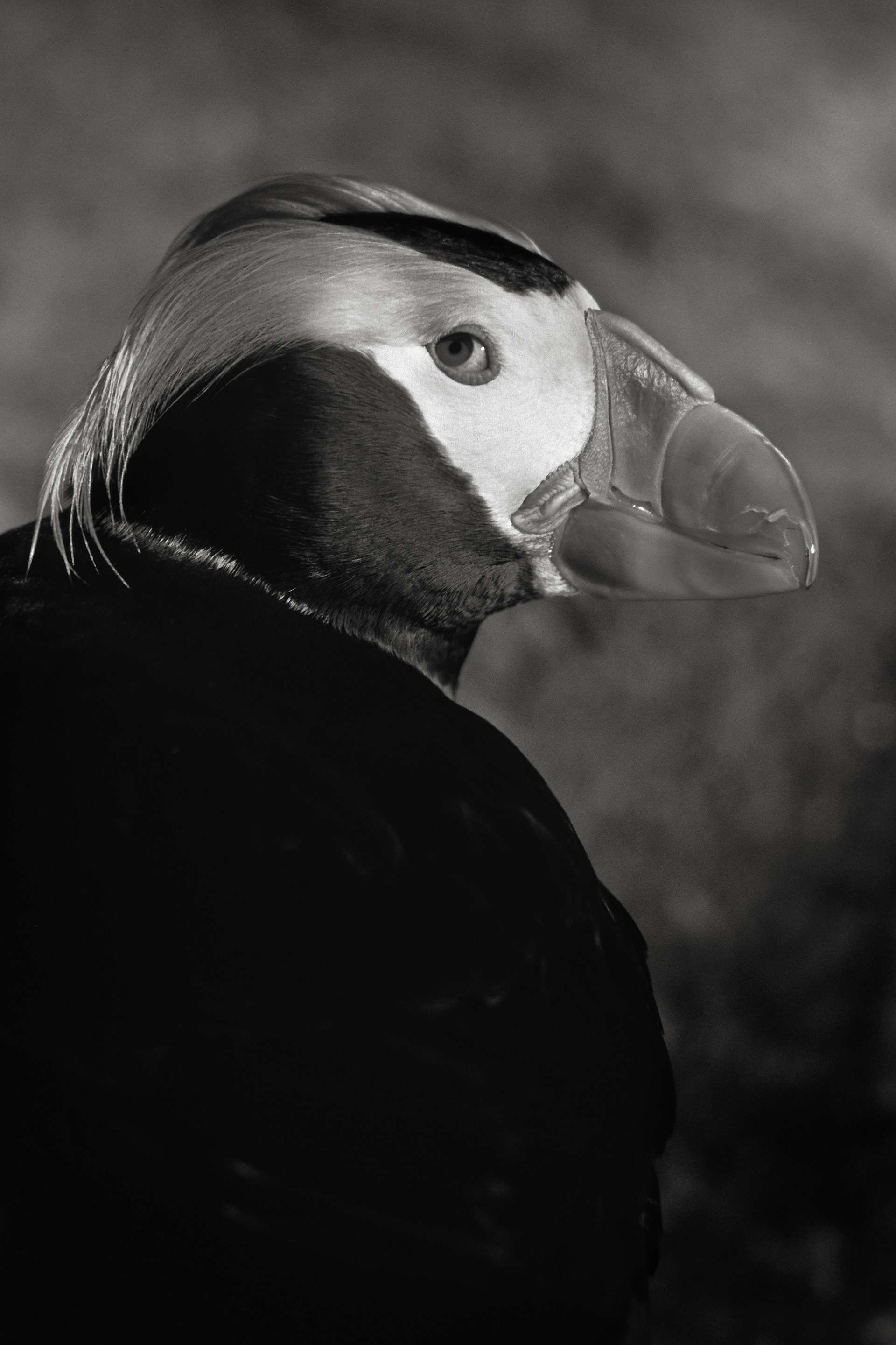 Gilles Martin's photograph : tufted puffin from Alaska, Struggle for life
