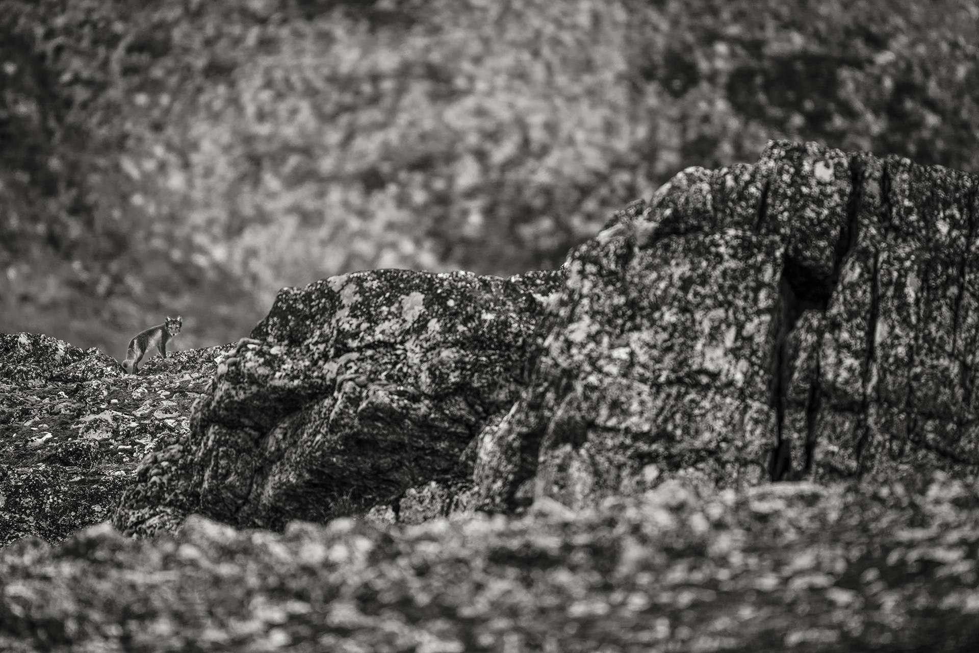 Photographie de Gilles Martin : renard polaire de Spitzberg, Struggle for life