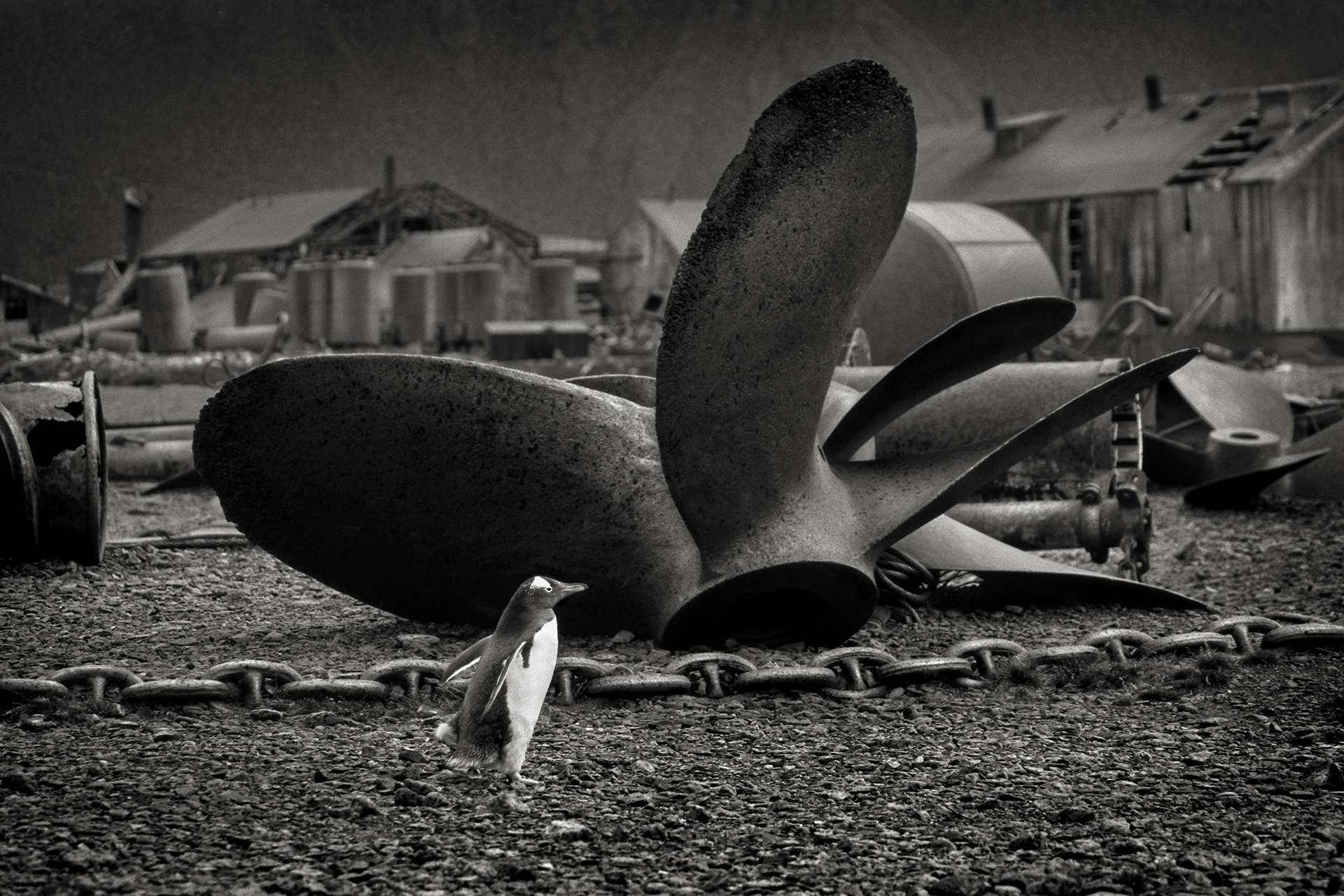 Gilles Martin's photograph : gentoo penguin from Antarctica, Struggle for life
