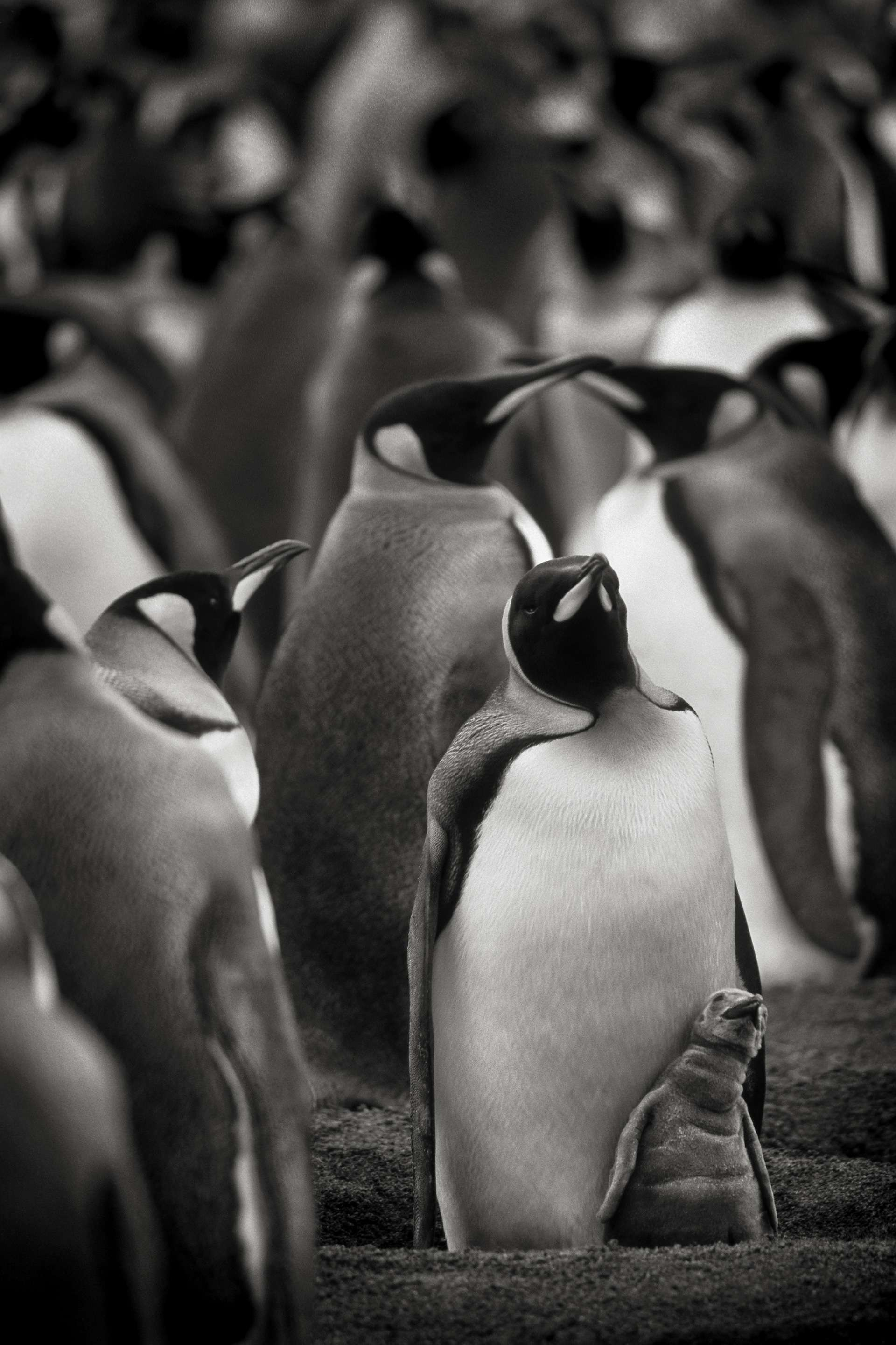 Gilles Martin's photograph : king penguin from South Georgia Island, Struggle for life