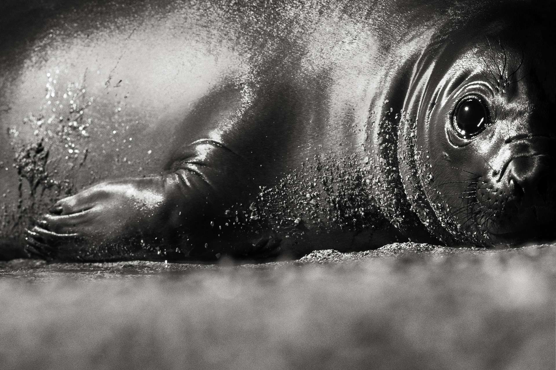 Photographie de Gilles Martin : éléphant de mer (mirounga) d'Argentine, Struggle For Life