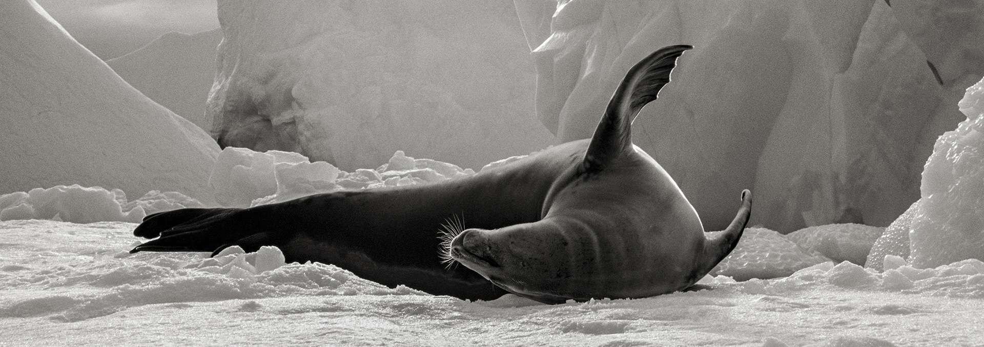 Gilles Martin's photograph : crabeater seal from Antarctica, Struggle for life
