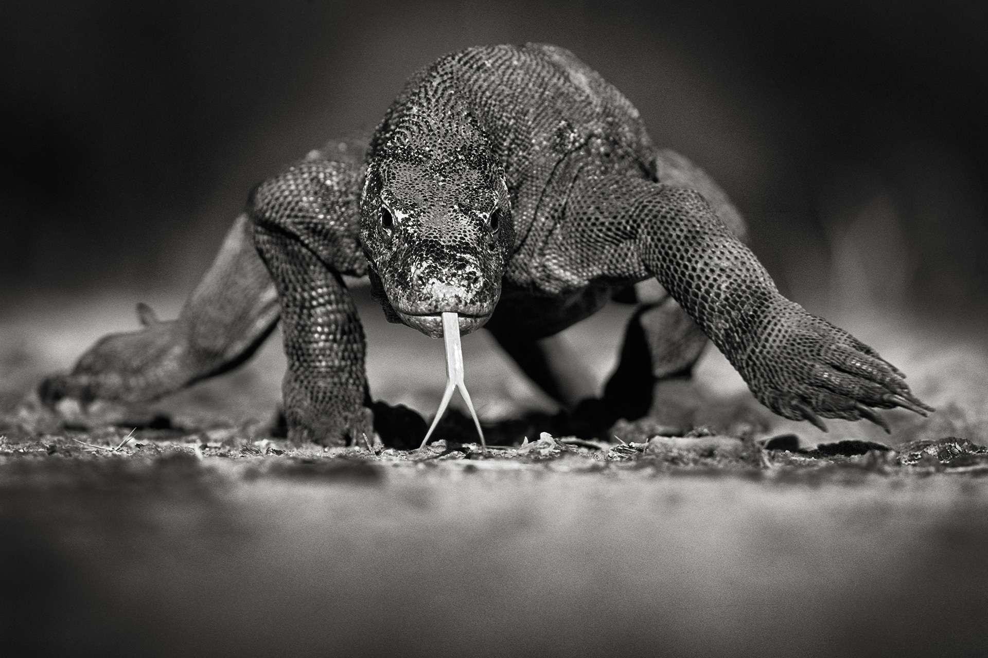 Gilles Martin's photograph : komodo dragon (varanus komodoensis), Struggle for life