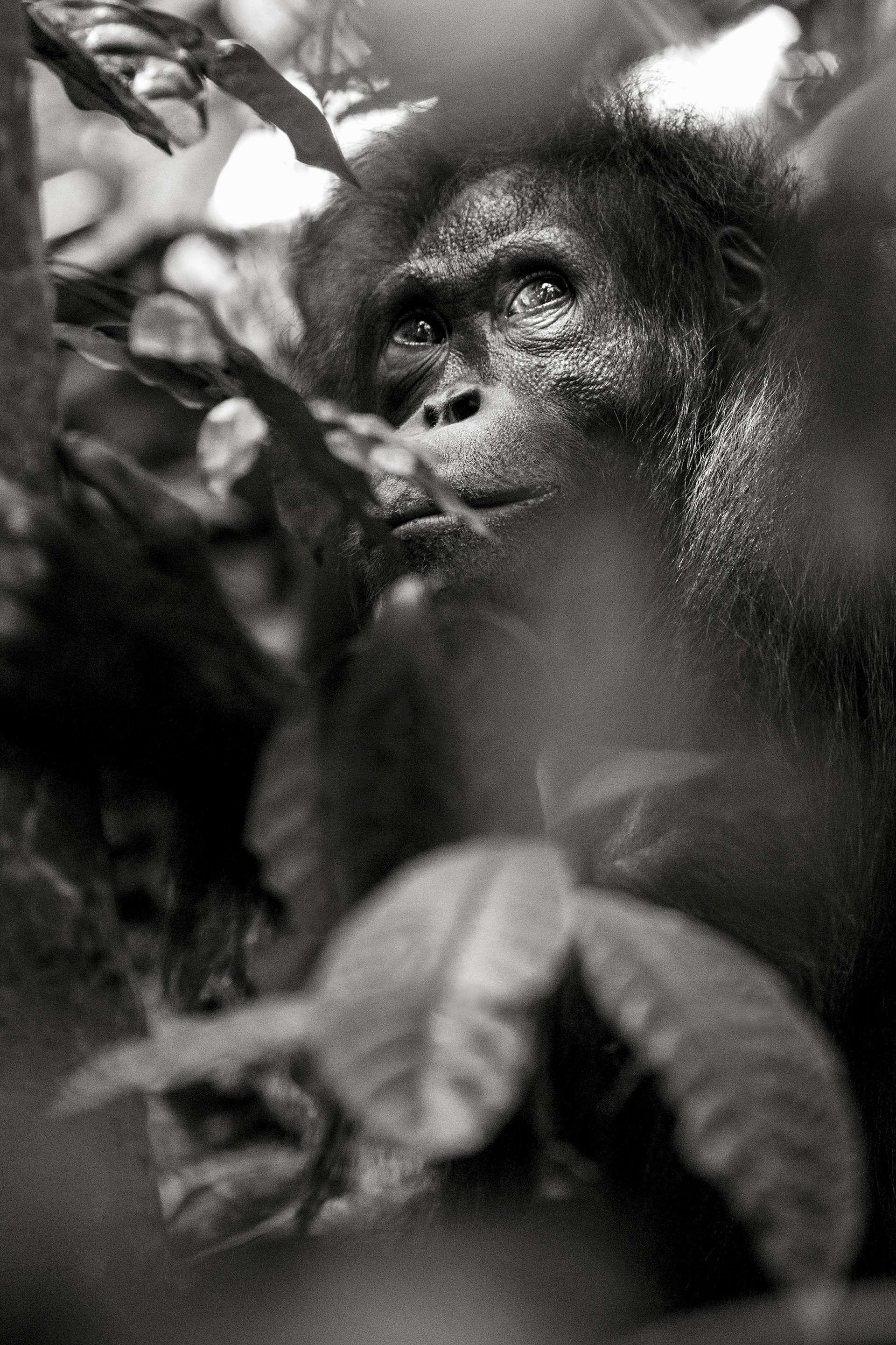 Gilles Martin's photograph : orangutan from Borneo, Struggle for life