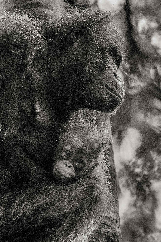 Photographie de Gilles Martin : orang-outang de Bornéo, Struggle for life