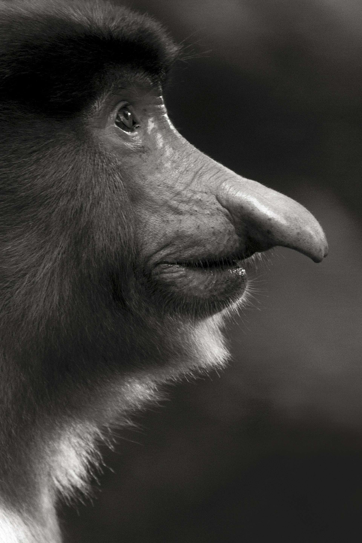 Gilles Martin's photograph : proboscis monkey (nasalis larvatus) from Borneo, Struggle for life