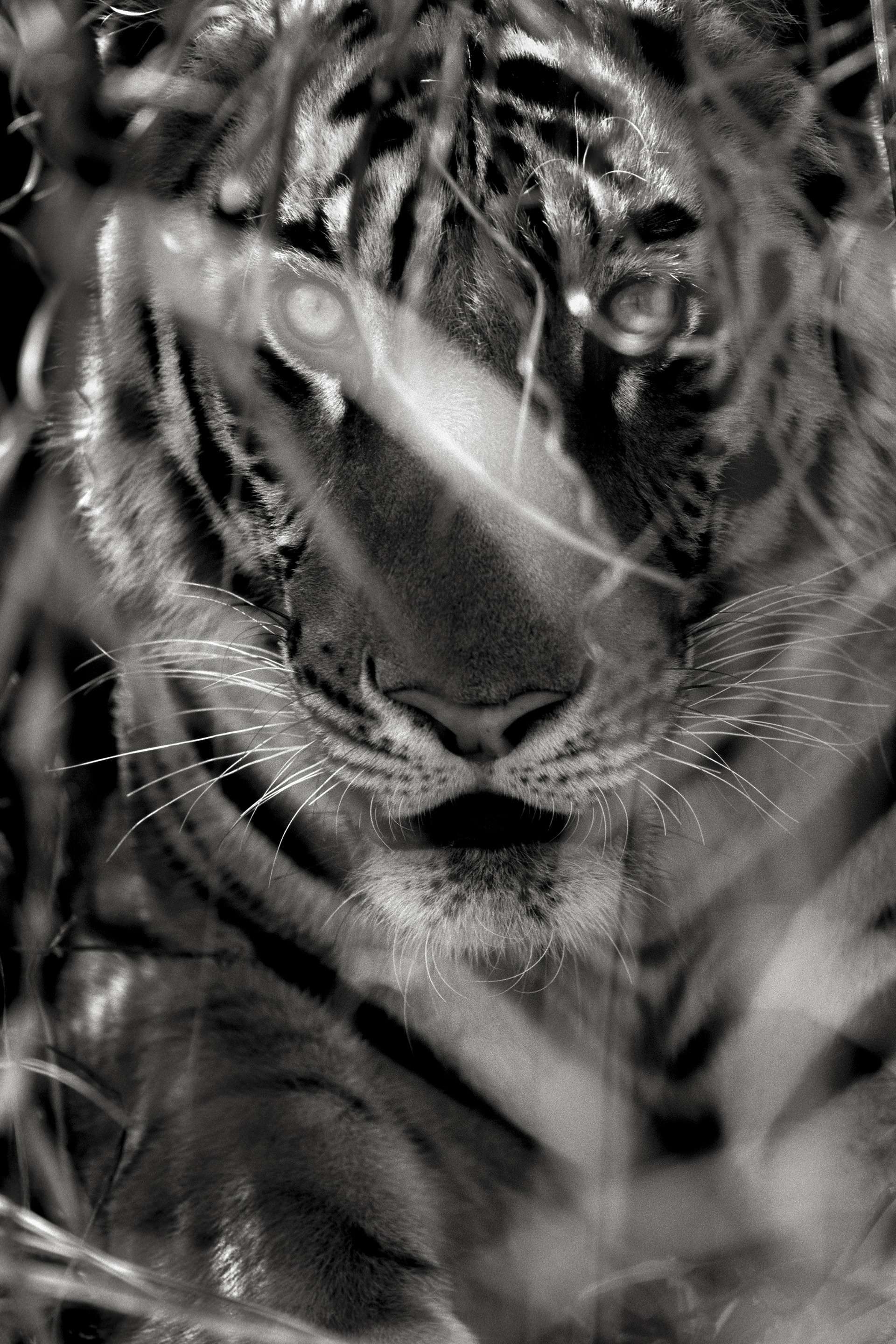 Gilles Martin's photograph : Bengal tiger from India, Struggle for life