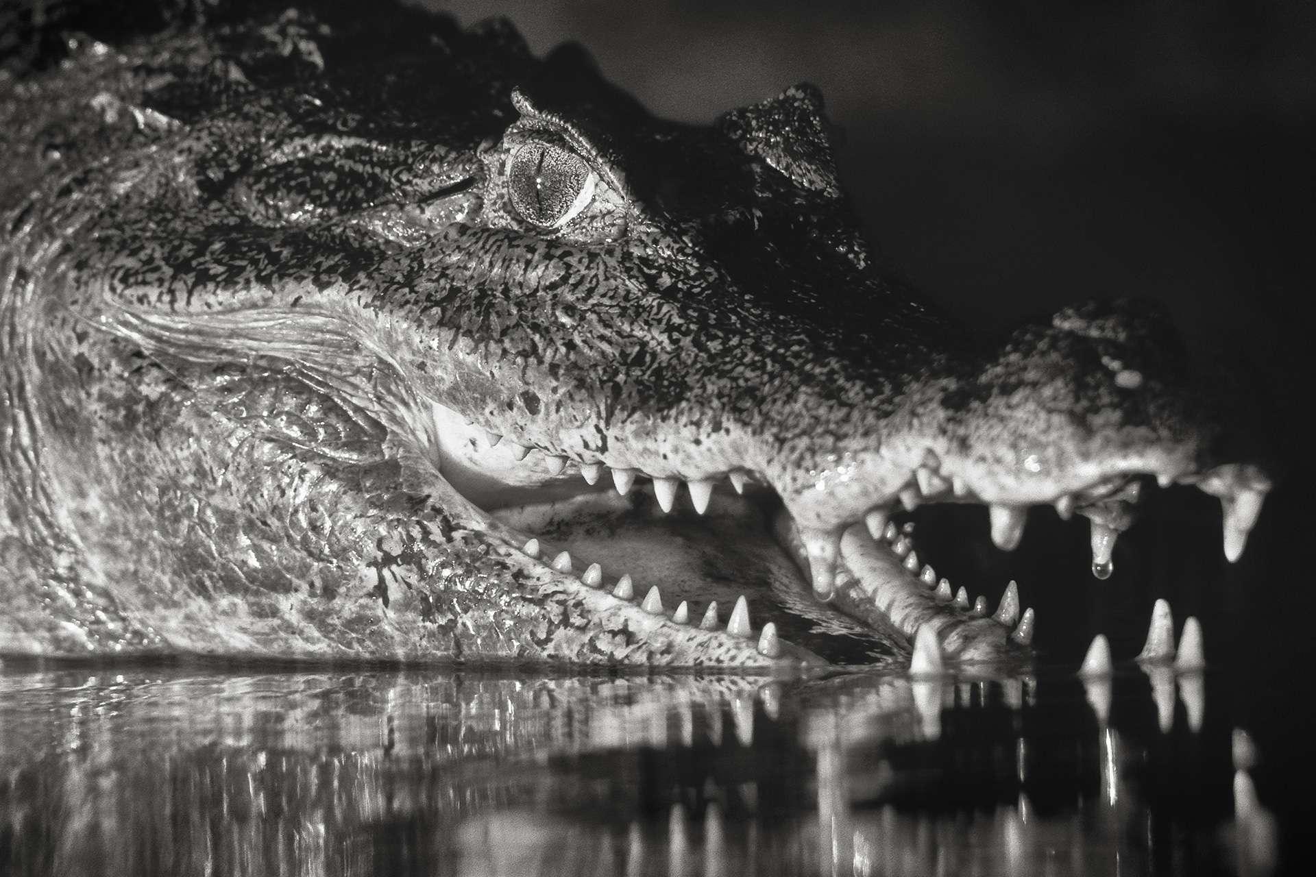 Photographie de Gilles Martin : crocodile, Caïman à lunettes du Venezuela, Struggle for life