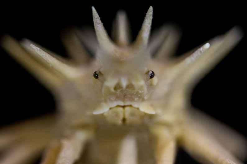 Crab of the majidae family.